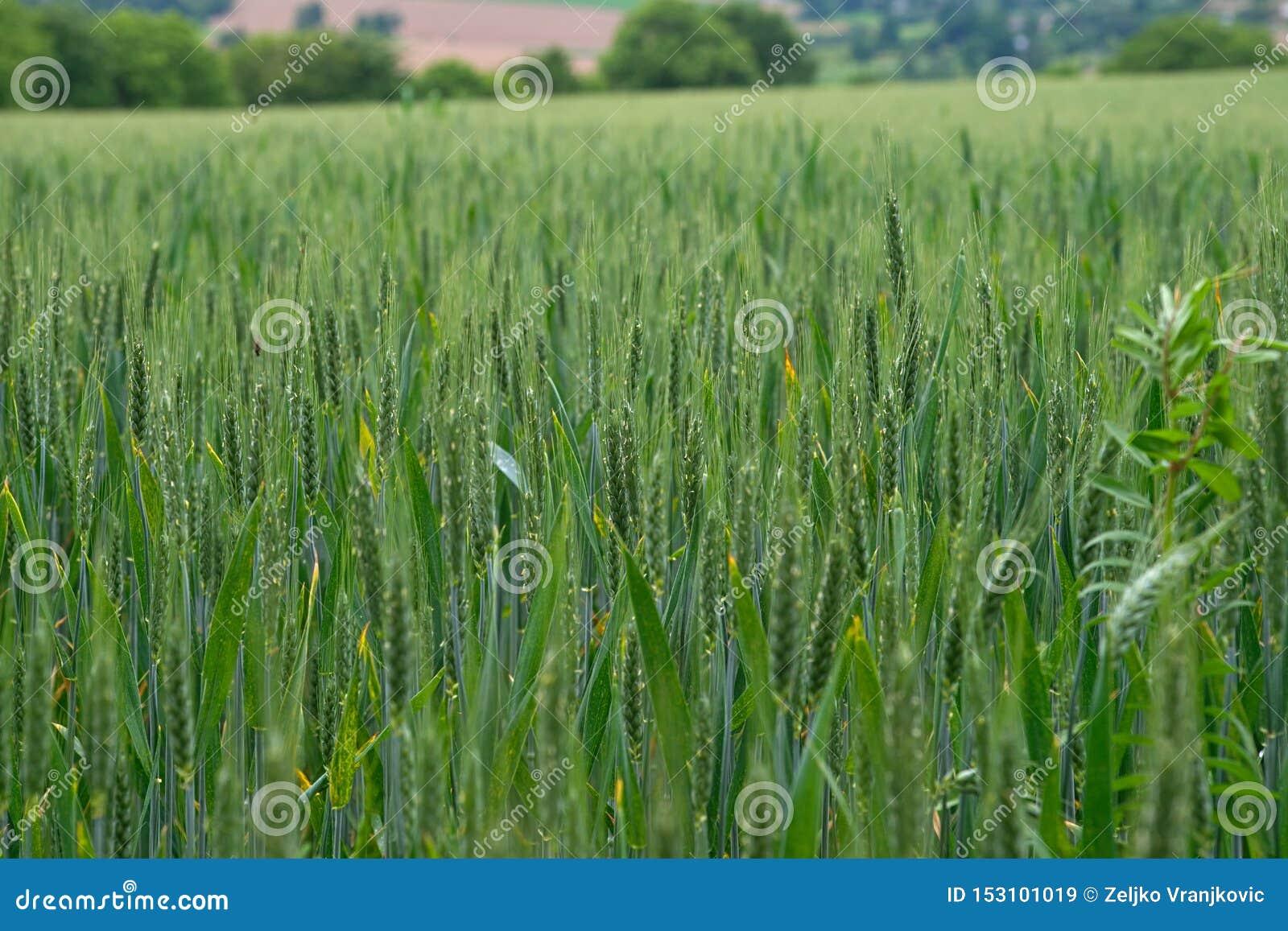 Nära övre sikt på vetefält på fridsam fransk bygd
