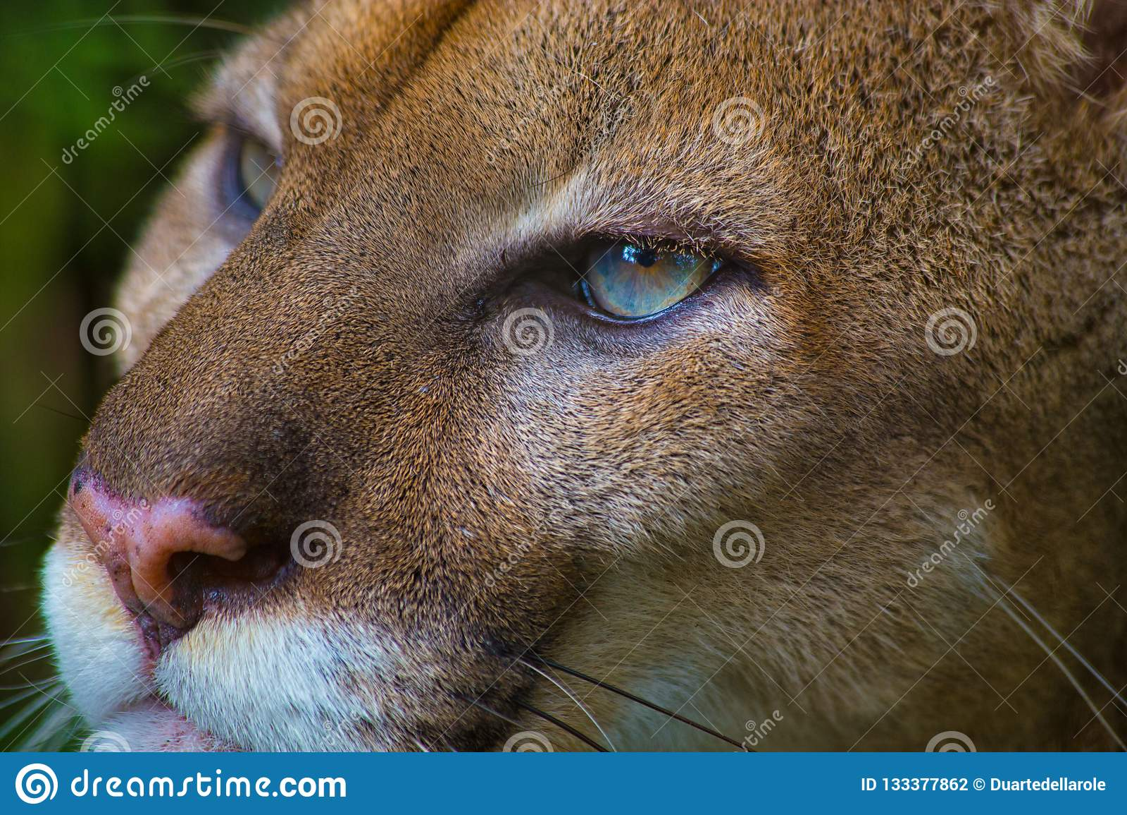 Nära övre stående av en kuguar eller en puma med blåa ögon