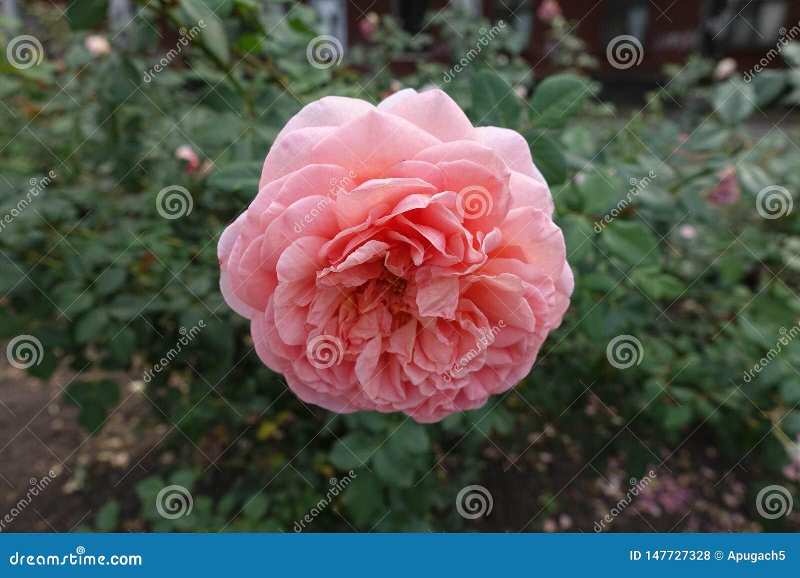 N?ra sikt av den rosa blomman av rosen