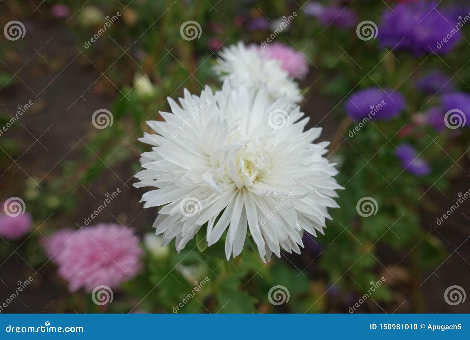 Nära sikt av den vita blomman av den Kina aster