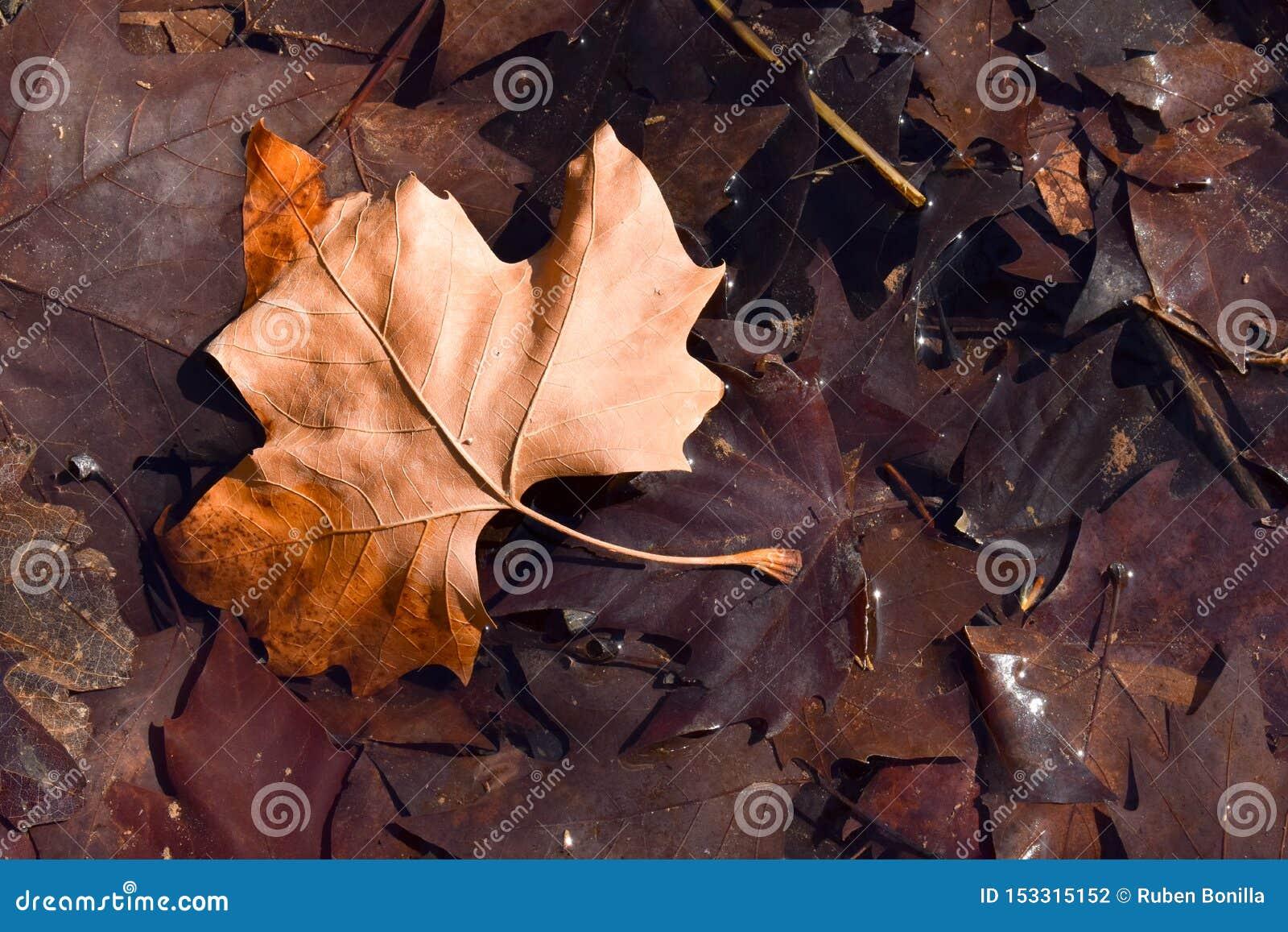 Nära upp av ett brunt blad för torr lönn på jordningen i en plats av en nedgångdag Bladet är på andra mörka bruna sidor, därför a