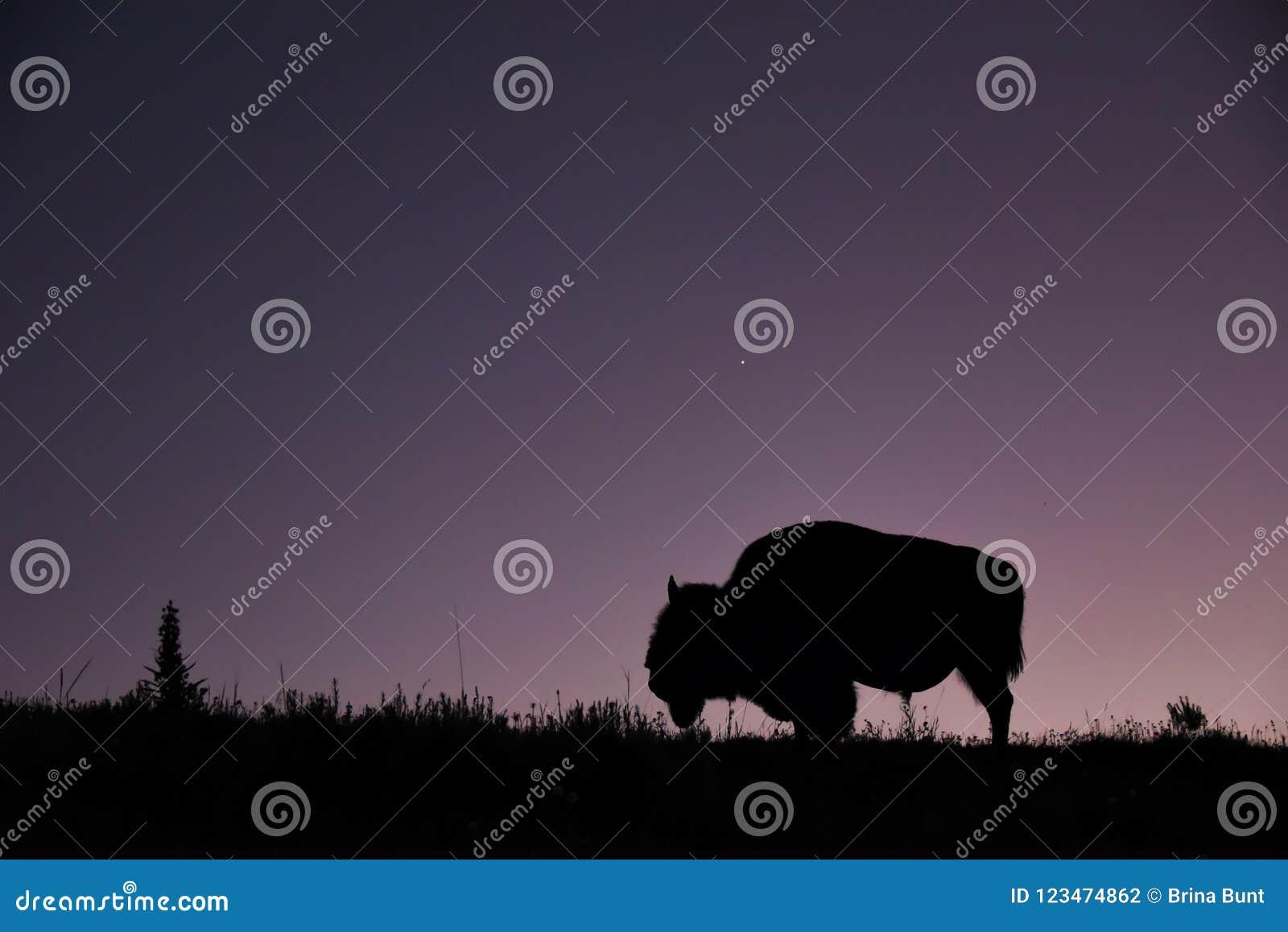 Närbild av den ensamma bisonen i ängen av Hayden Valley på solnedgången