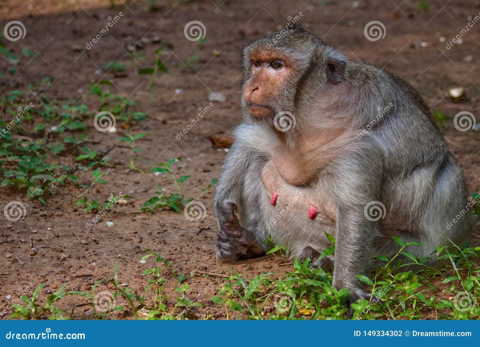 N?rbild av den feta tiggareapan p? Angkor Wat