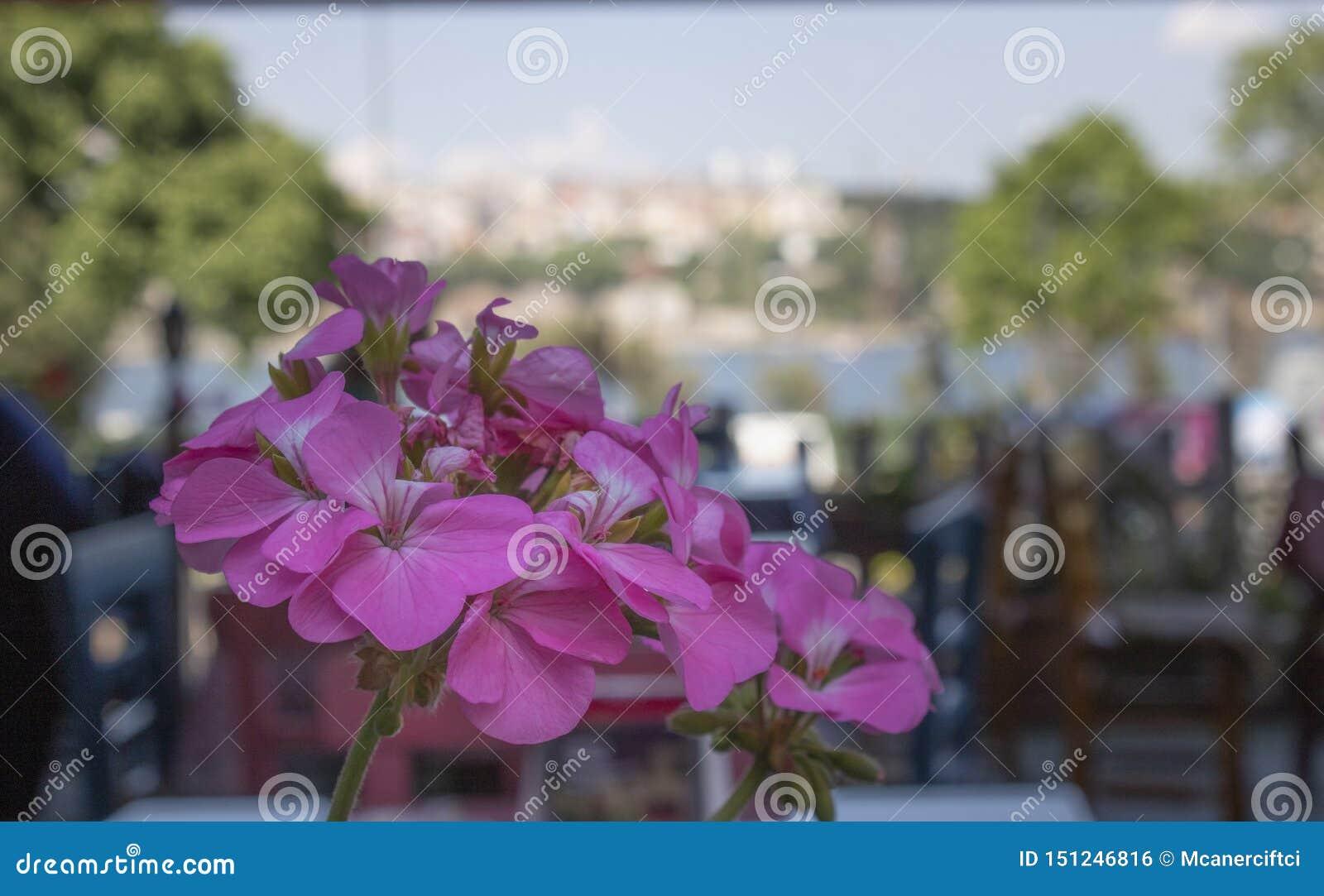 Närbild av den zon- blomman för pelargon (pelargoniahortorum) I bakgrunden finns det kafétabeller och stolar suddighet bakgrund