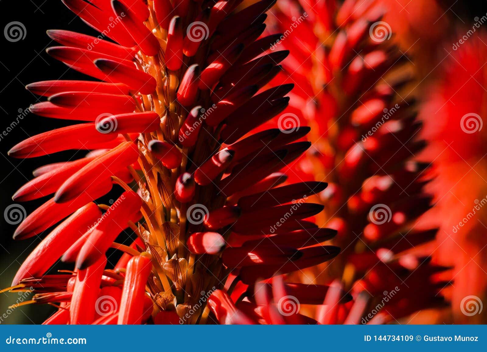 Närbild av en aloeVera blomma med mer blommabakgrund
