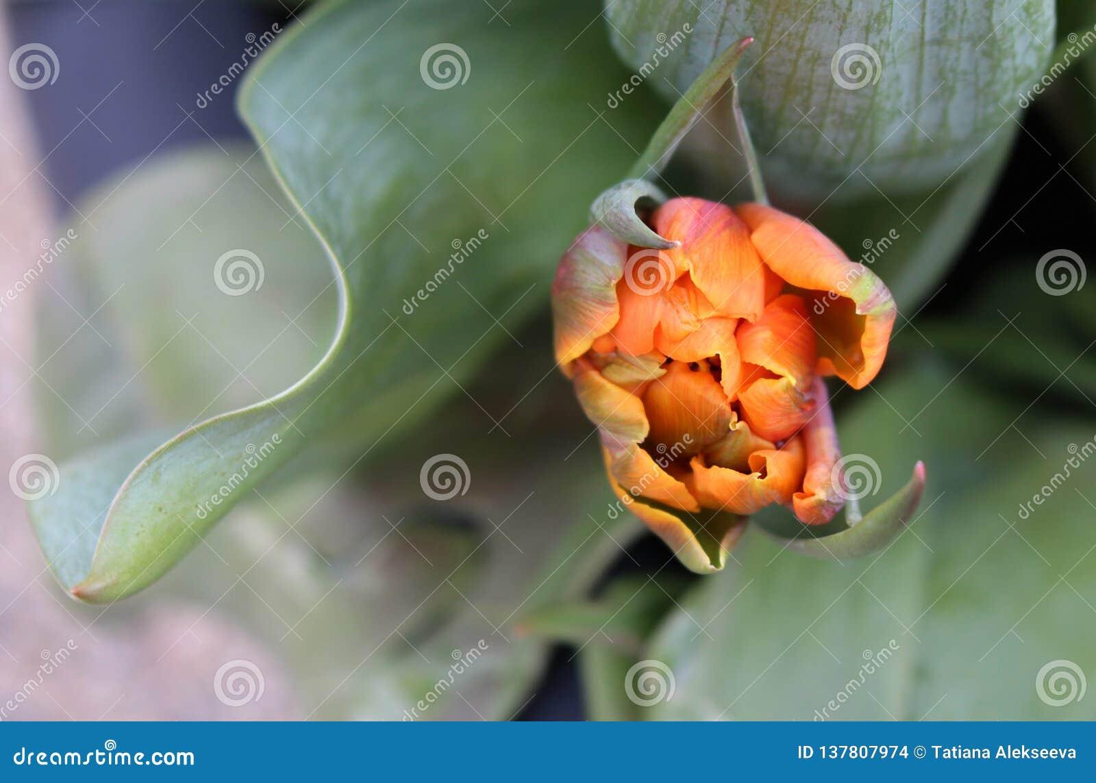 Närbild av en blomstra knopp av den orange prinsessan Double Late Tulip