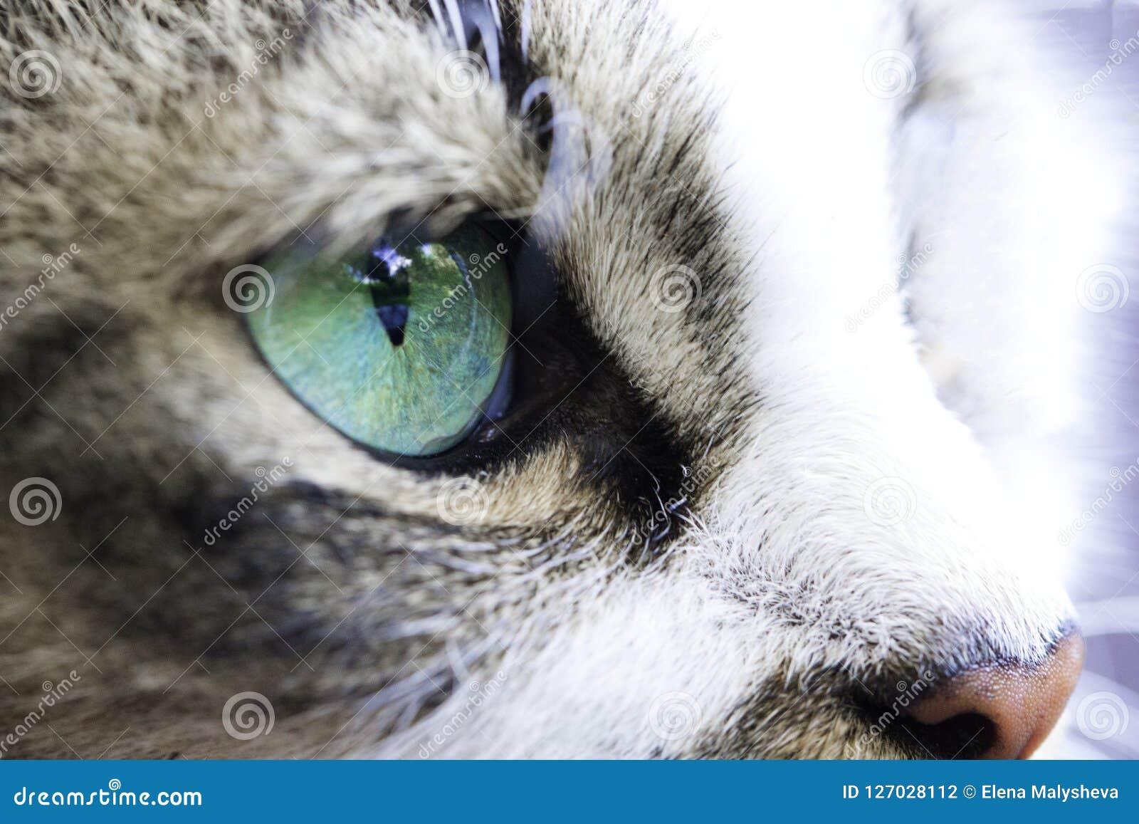 Närbild av en färg för turkos för öga för katt` s