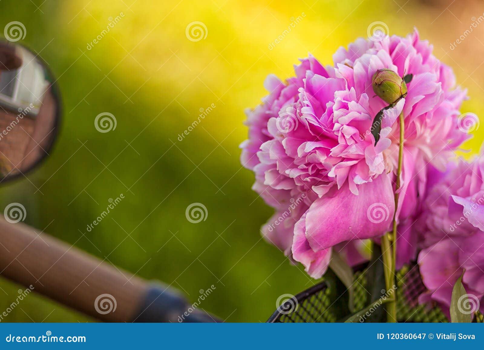 Närbild av en härlig ny bukett av rosa pioner