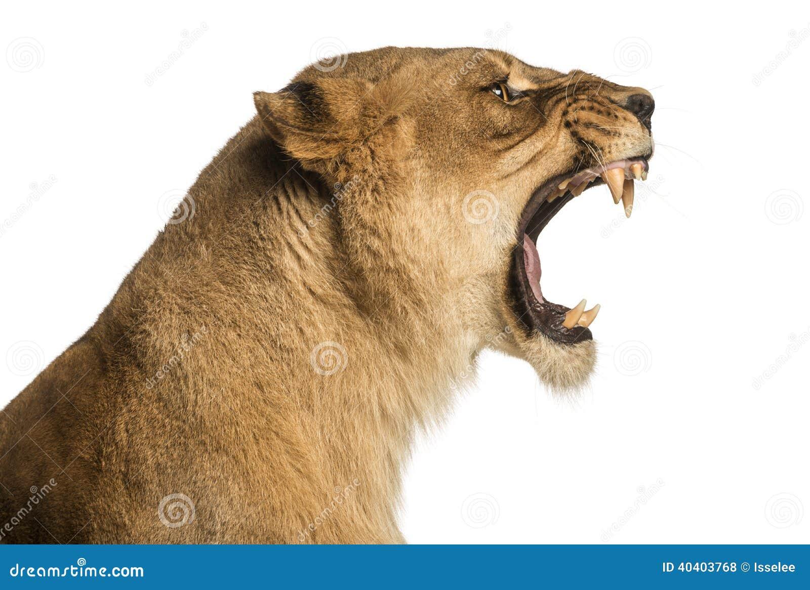 Närbild av en rytande profil för lejoninna, Panthera leo