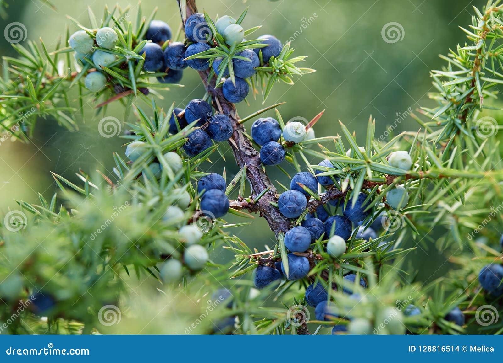 Närbild av enbär som växer på träd
