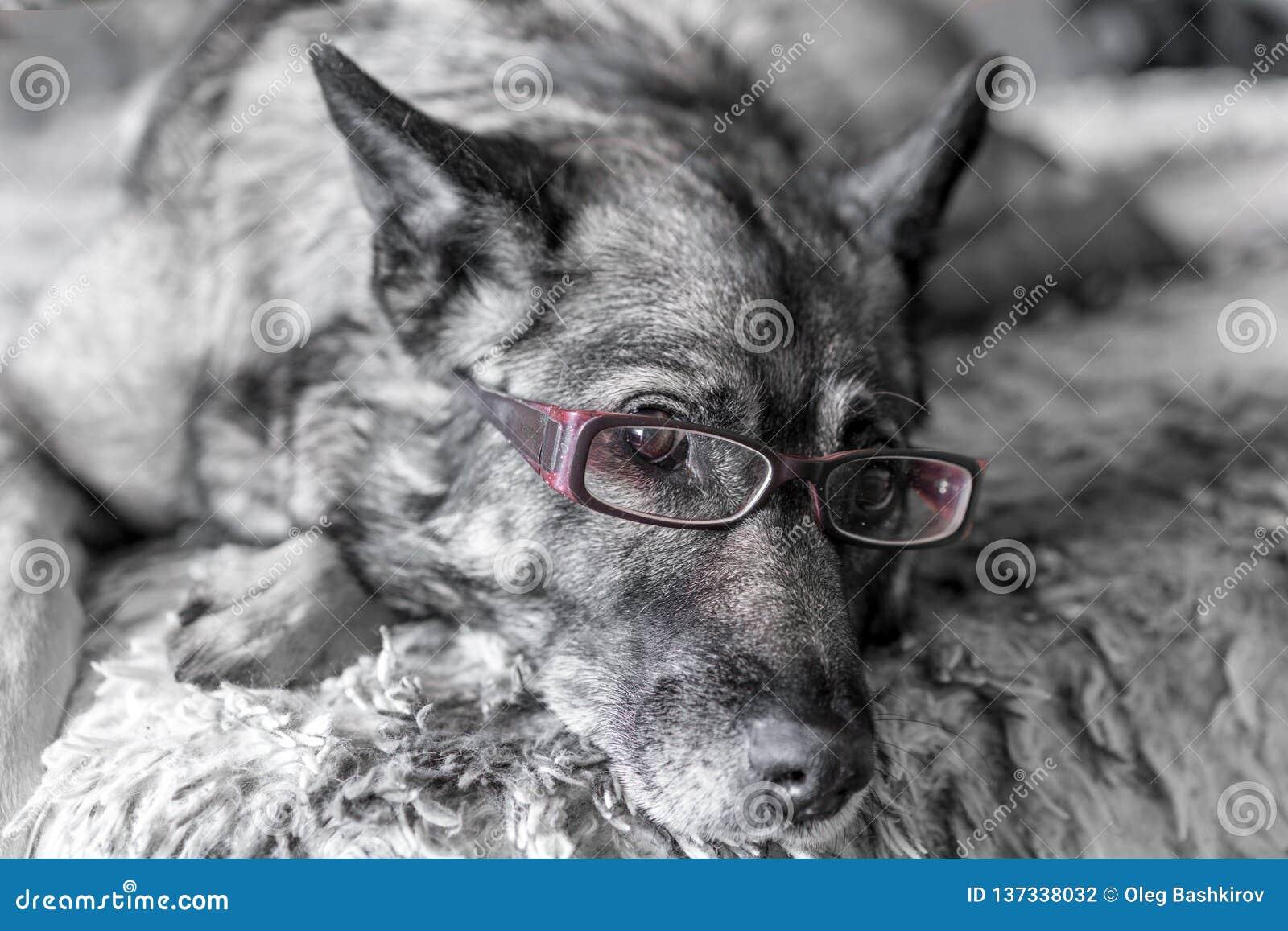 Närbild av hunden som bär rosa läs- exponeringsglas