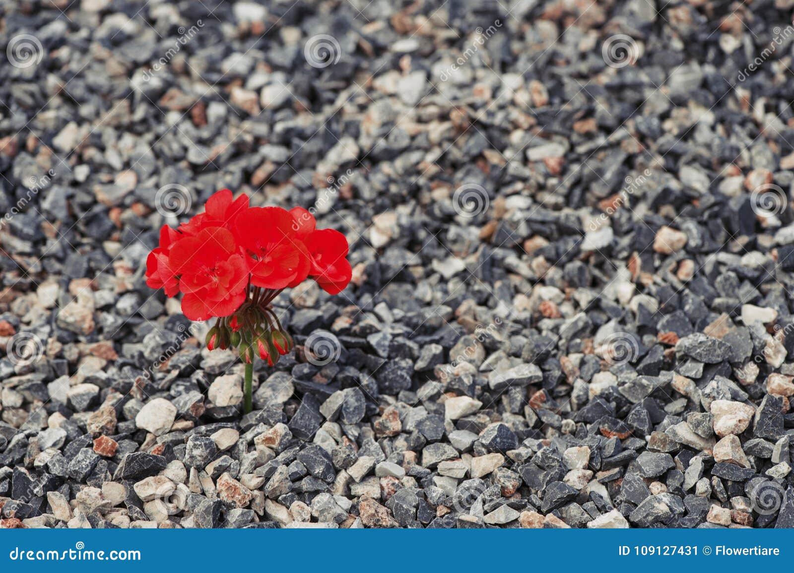 Närbild av rött växa för blomma upp från gruset Begreppet av liv och motivationen