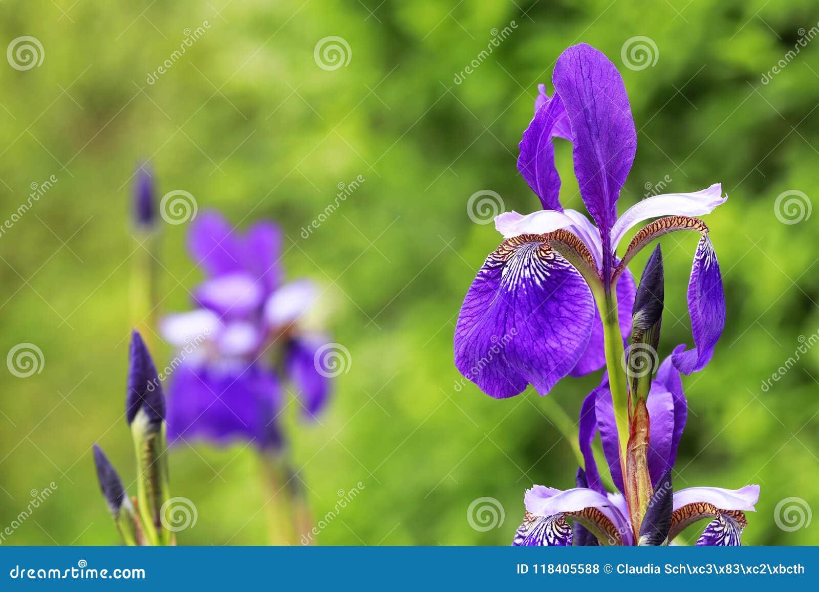 Närbild för irissibiricaSibirian iris i en grupp med grön backg