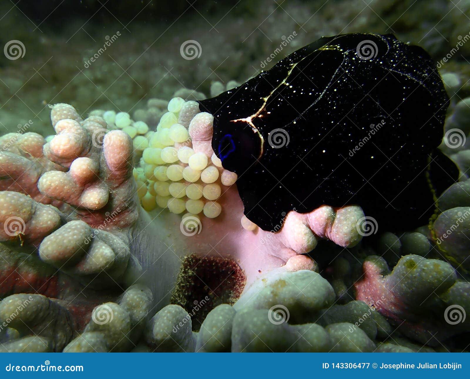 Närbild- och makroskottsnäckskal med ägg, skönheten av undervattens- världsdykning i Sabah, Borneo