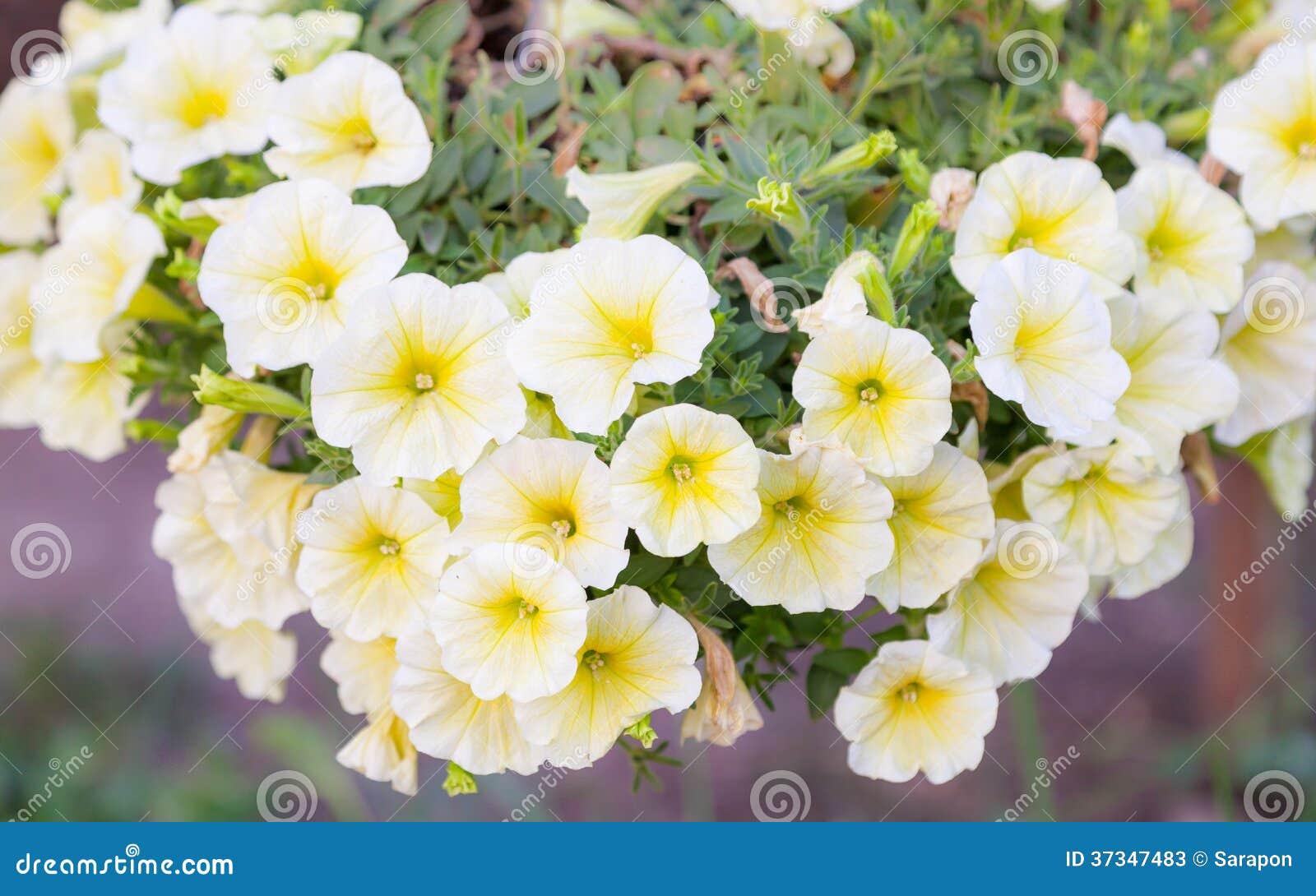 Närbildblommor av vita petunior
