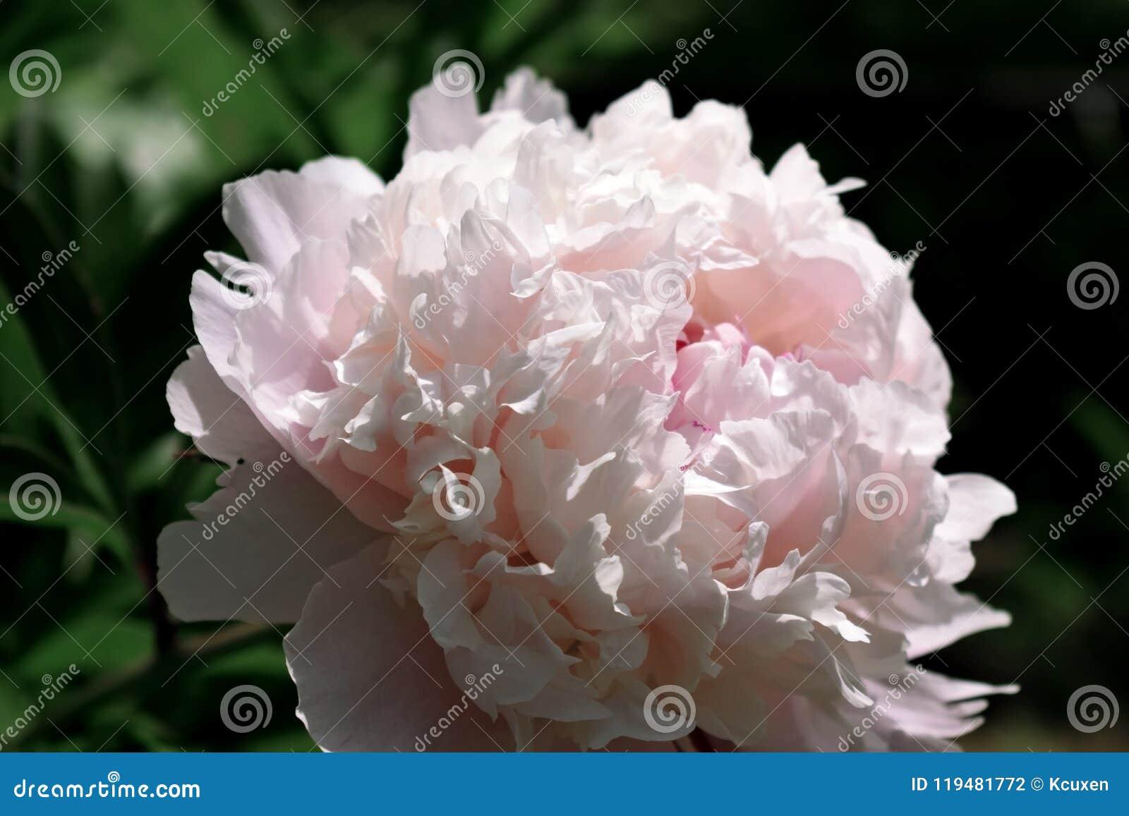Närbilden av en rosa pion som är upplyst vid solen, rays