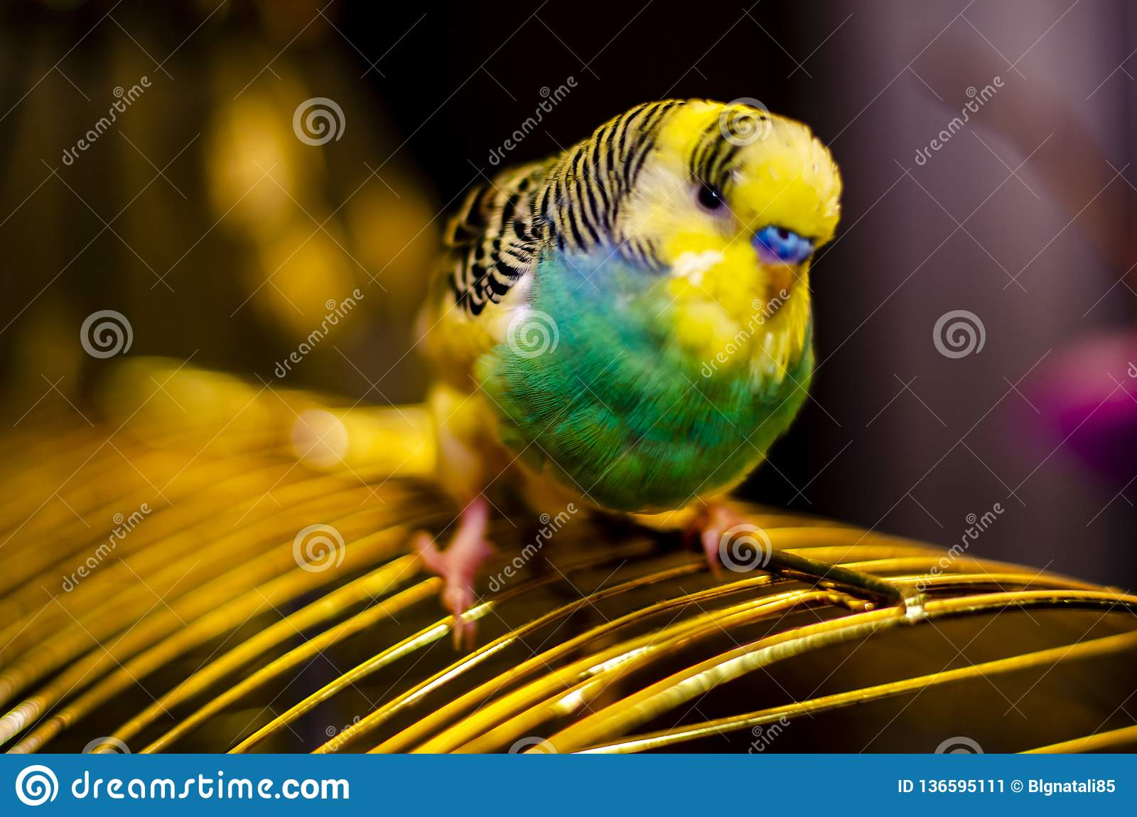 Närbilden av tystar ned av en krabb papegojafågel med en suddig bakgrund för mughum