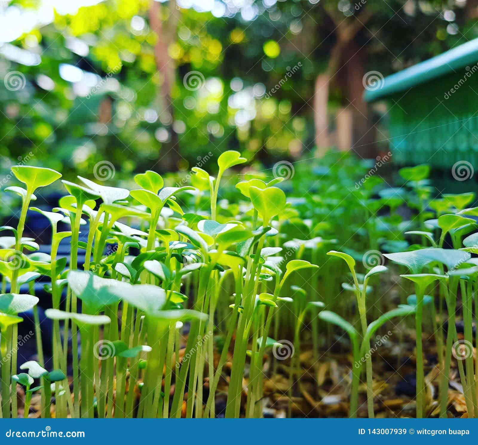 Närbildfält växer grönsaker