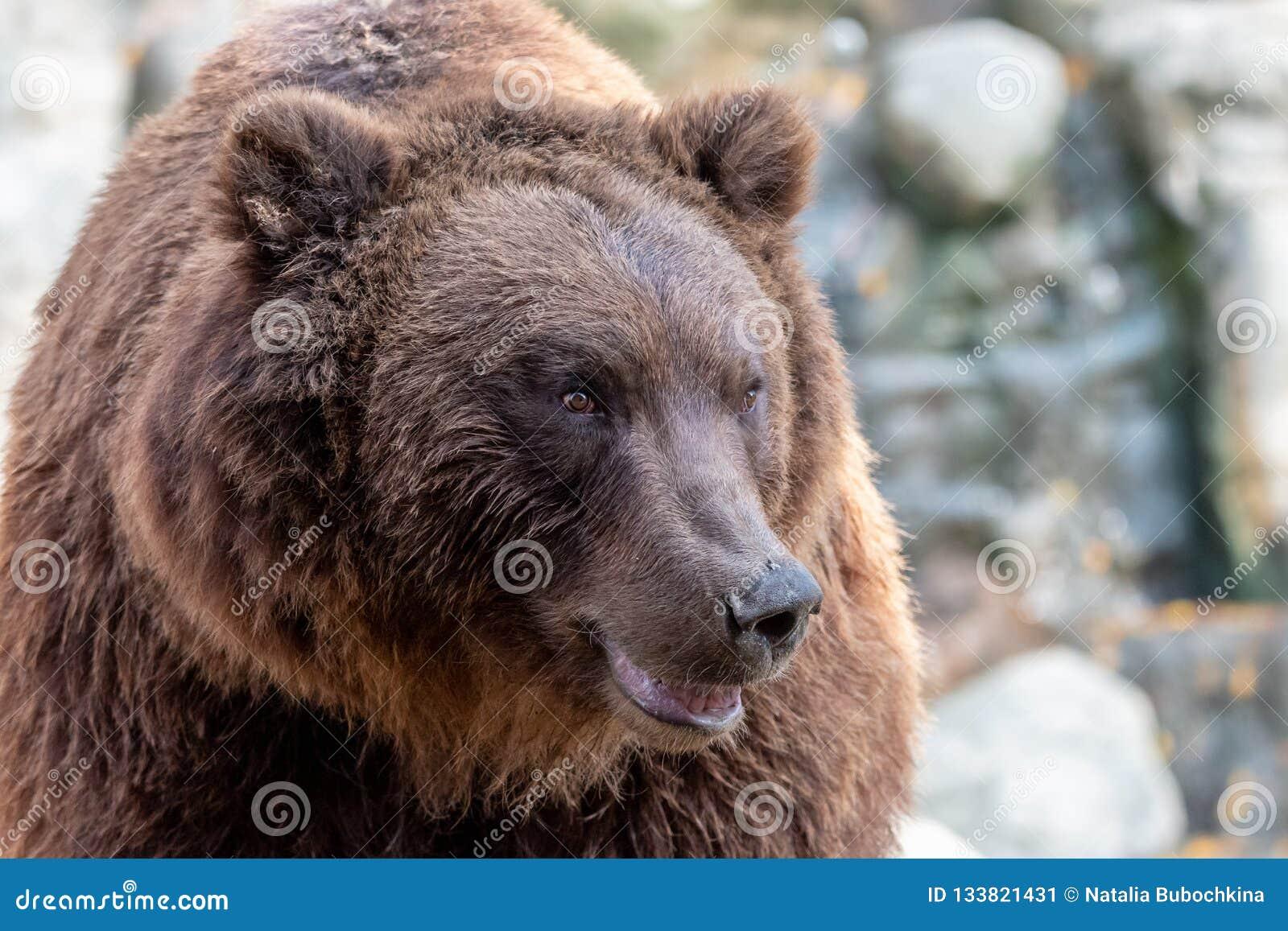 Närbildstående av den enorma päls- brunbjörnen