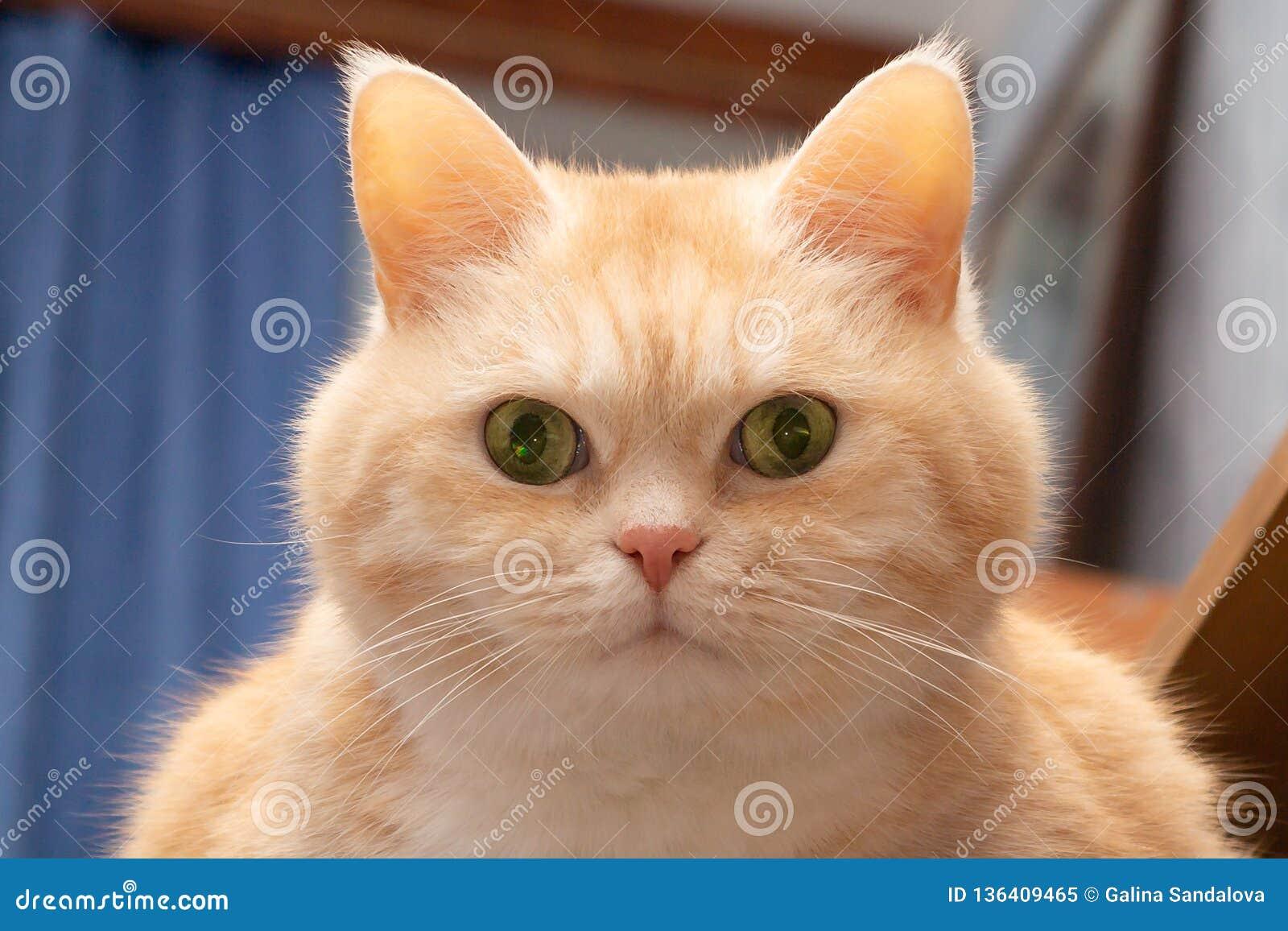 Närbildstående av en gullig fet allvarlig kräm- strimmig kattkatt med gröna ögon som ser direkt in i kameran
