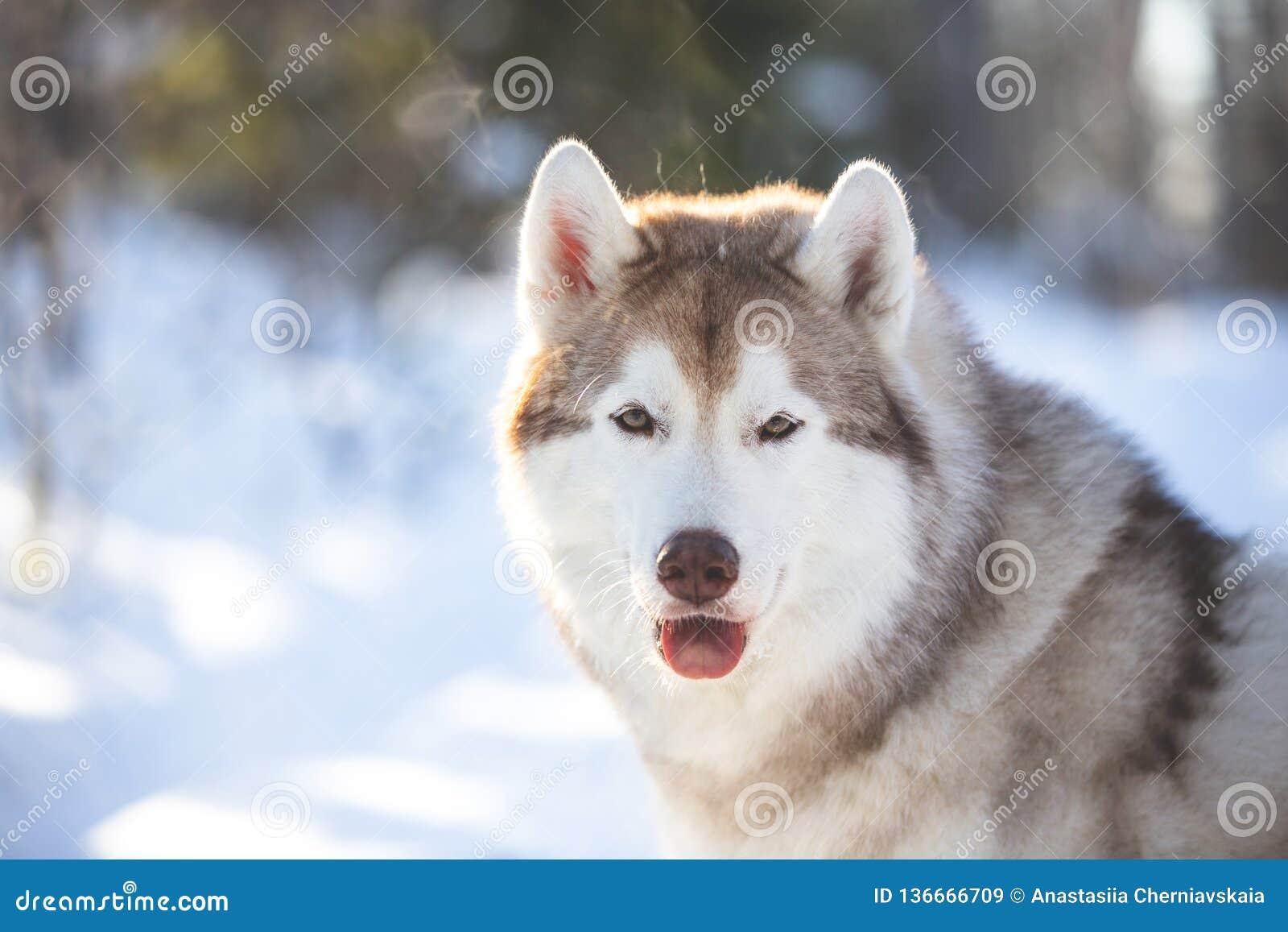 Närbildstående av härligt, fri Siberian skrovlig hund för youngand som sitter på det insnöat den felika skogen i vinter