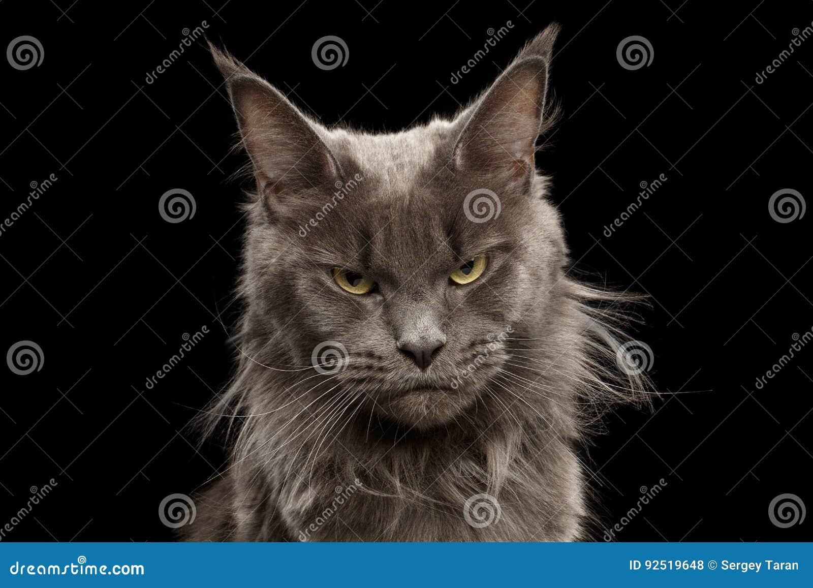 Närbildstående Maine Coon Cat på svart bakgrund