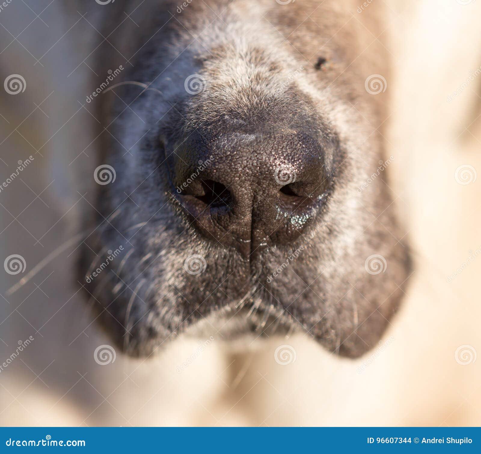 Näsa av en hund Makro