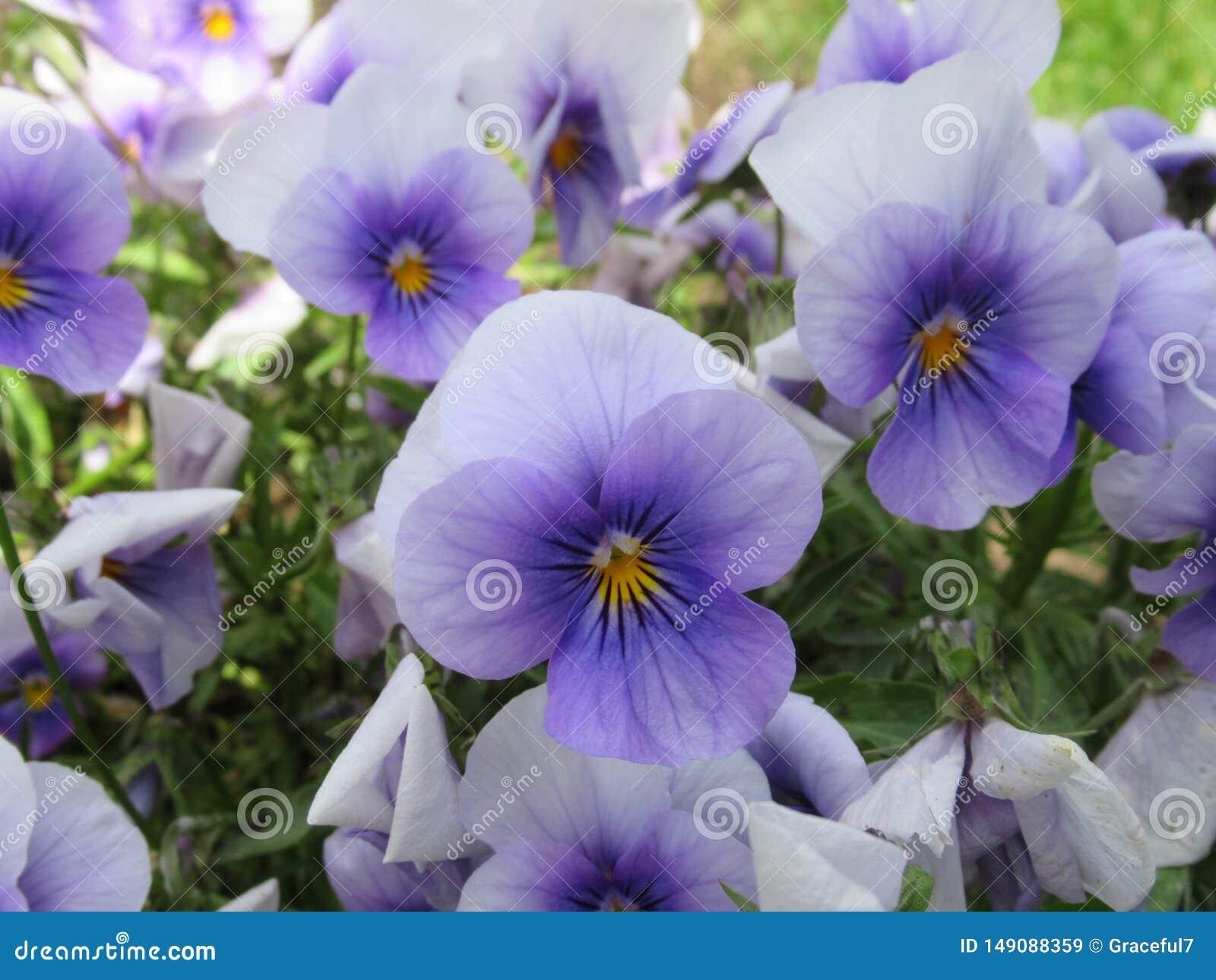 Nätt & ljust ljus - blåa Pansy Flowers Blossom In Vancouver parkerar trädgården i våren 2019