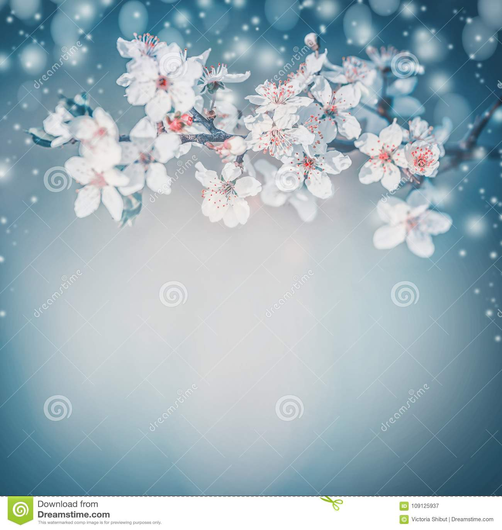 Nätt vårblomning Vit körsbärsröd vårblom, blommor på turkos gör suddig naturen