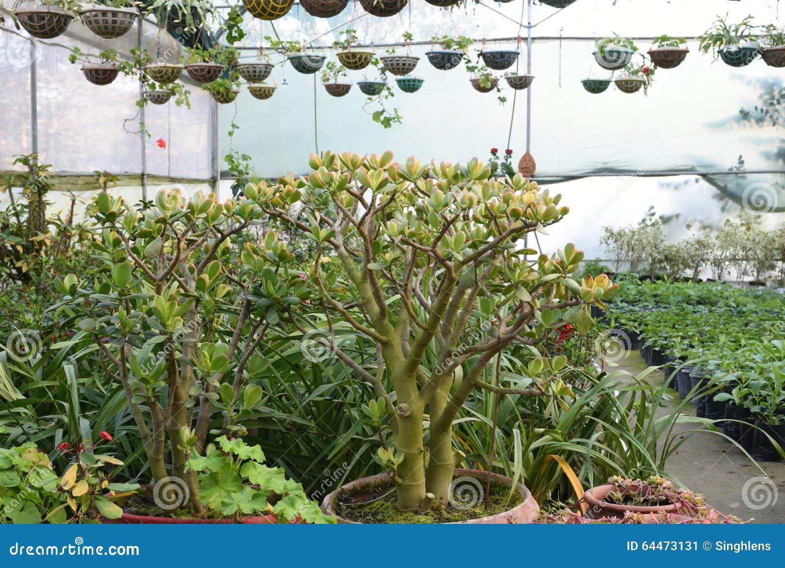 Nätta dekorativa växter som odlas i blomkrukor i en drivhus på en barnkammare eller en lantgård för detaljhandel som hus eller tr