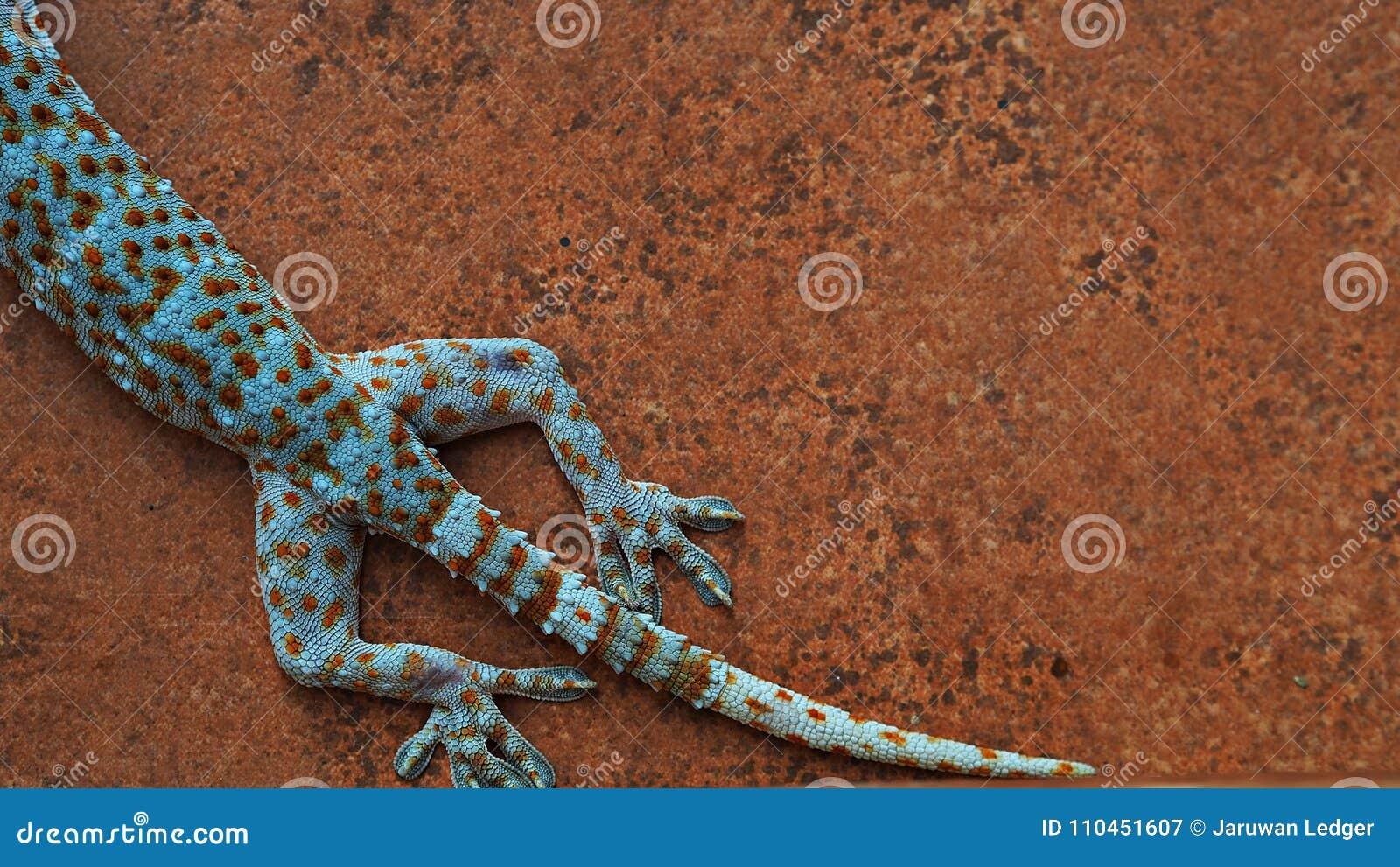 Någon del av den härliga geckokroppen på väggen