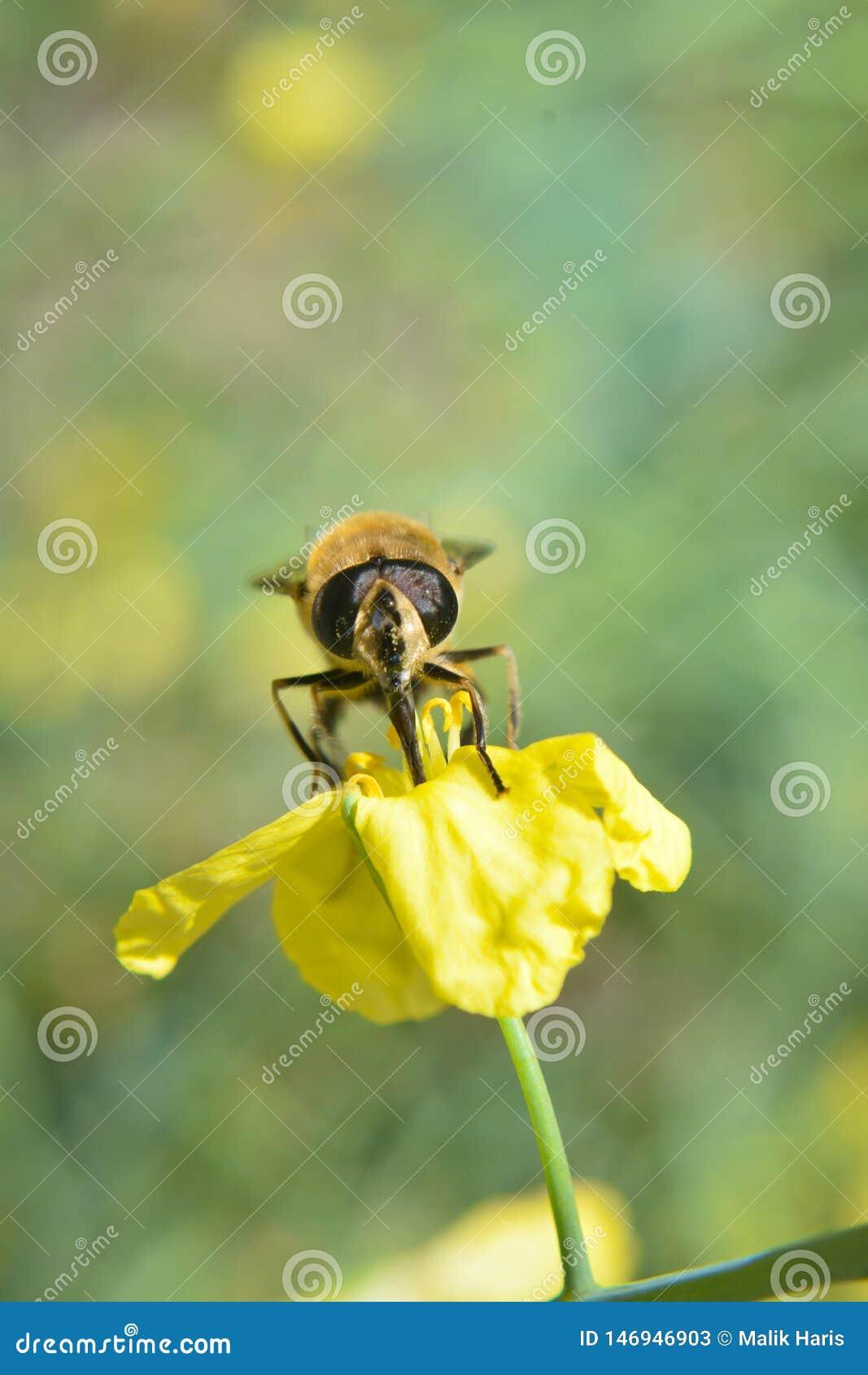Néctar bebendo da abelha da flor amarela Abelha do mel na flor
