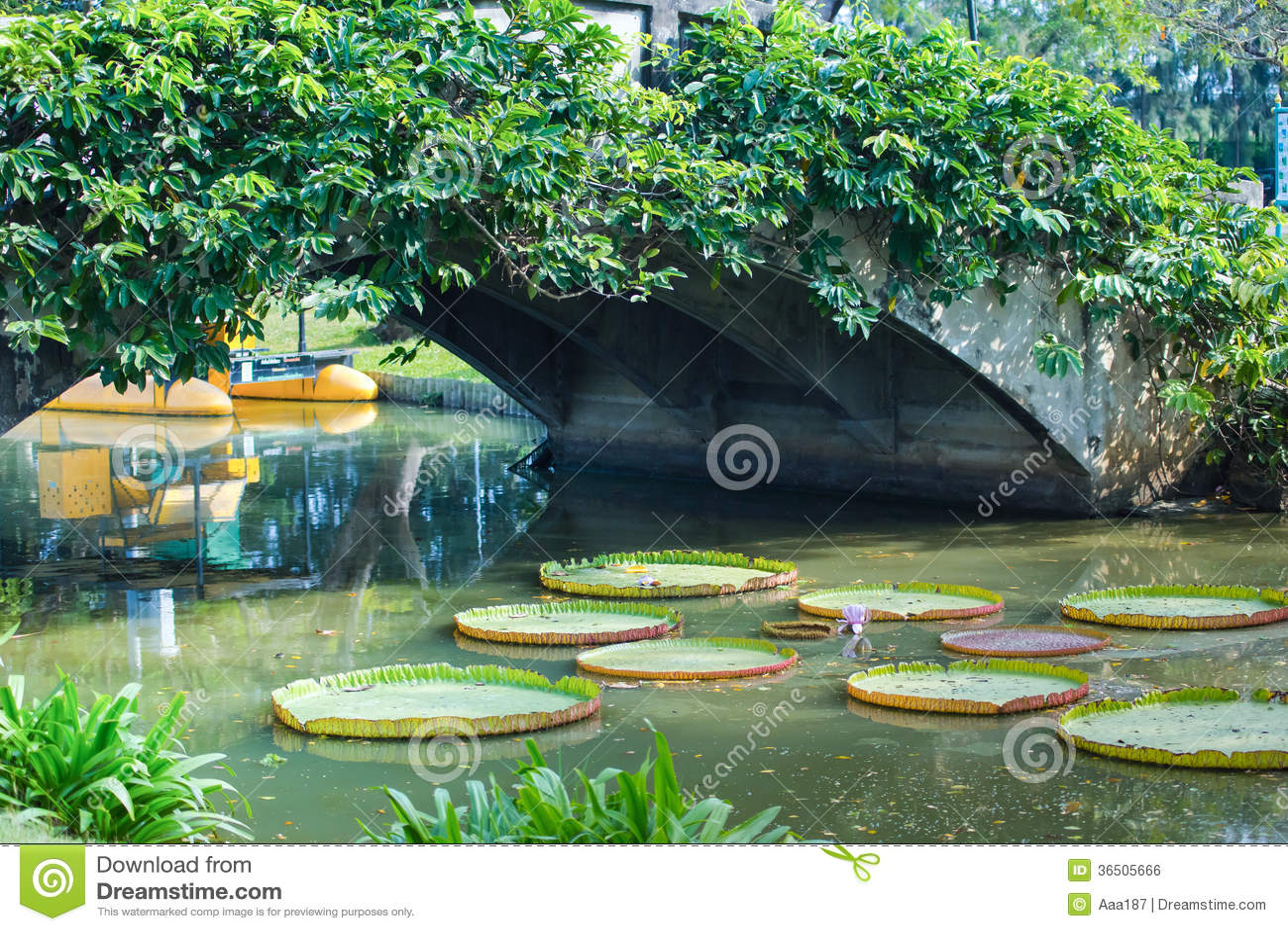 Nénuphar géant dans le canal