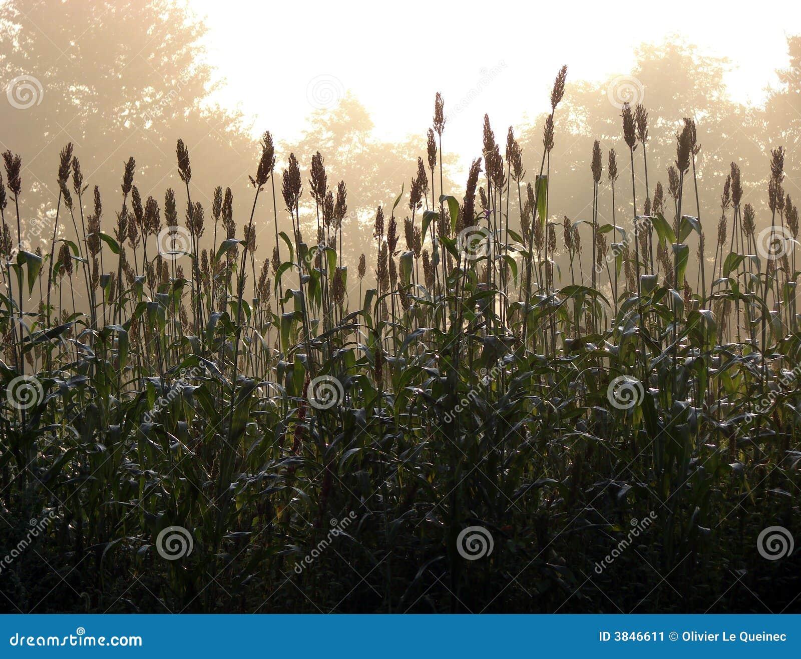 Névoa da manhã sobre o campo