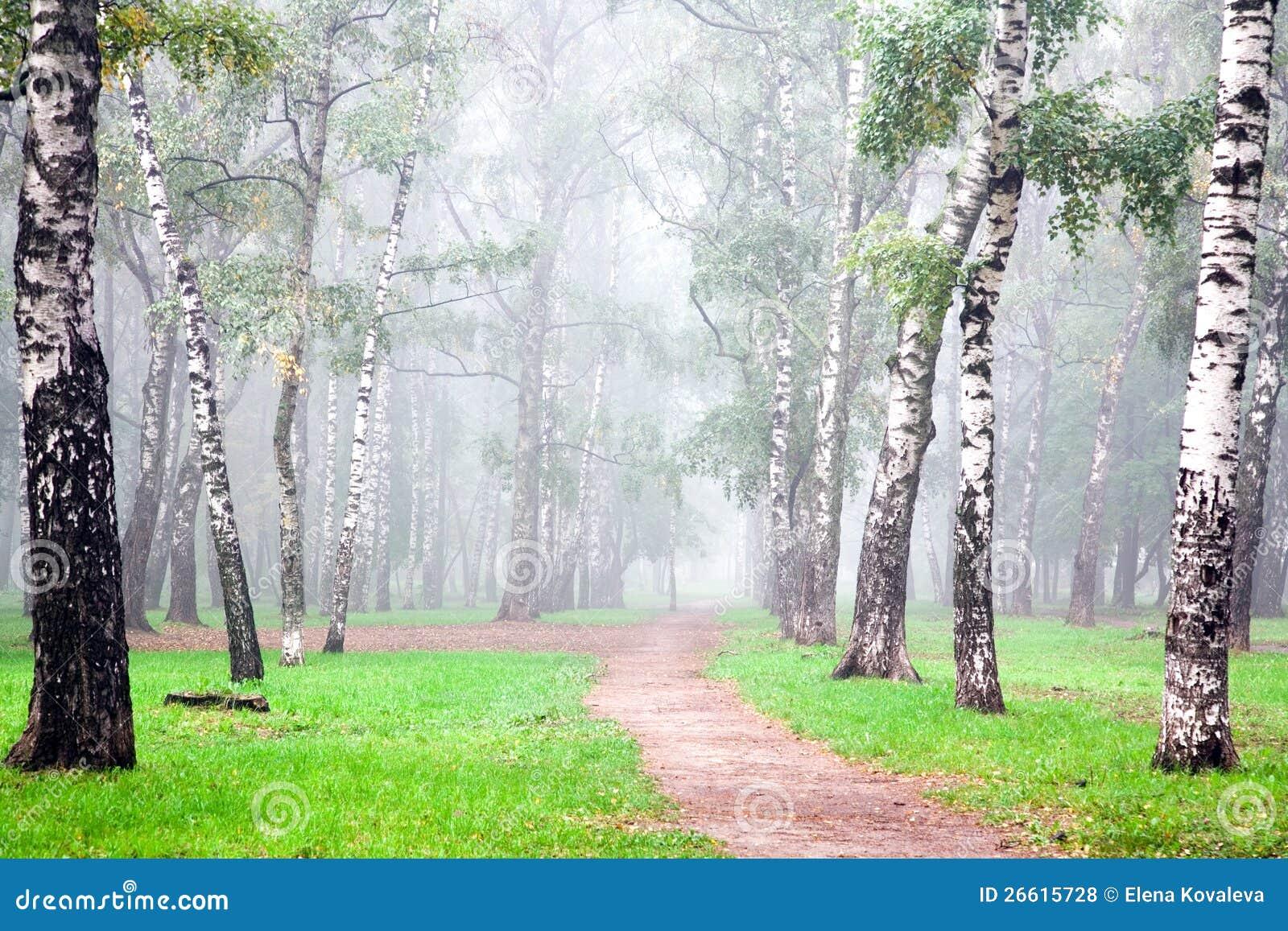 Névoa profunda do outono no bosque do vidoeiro da manhã
