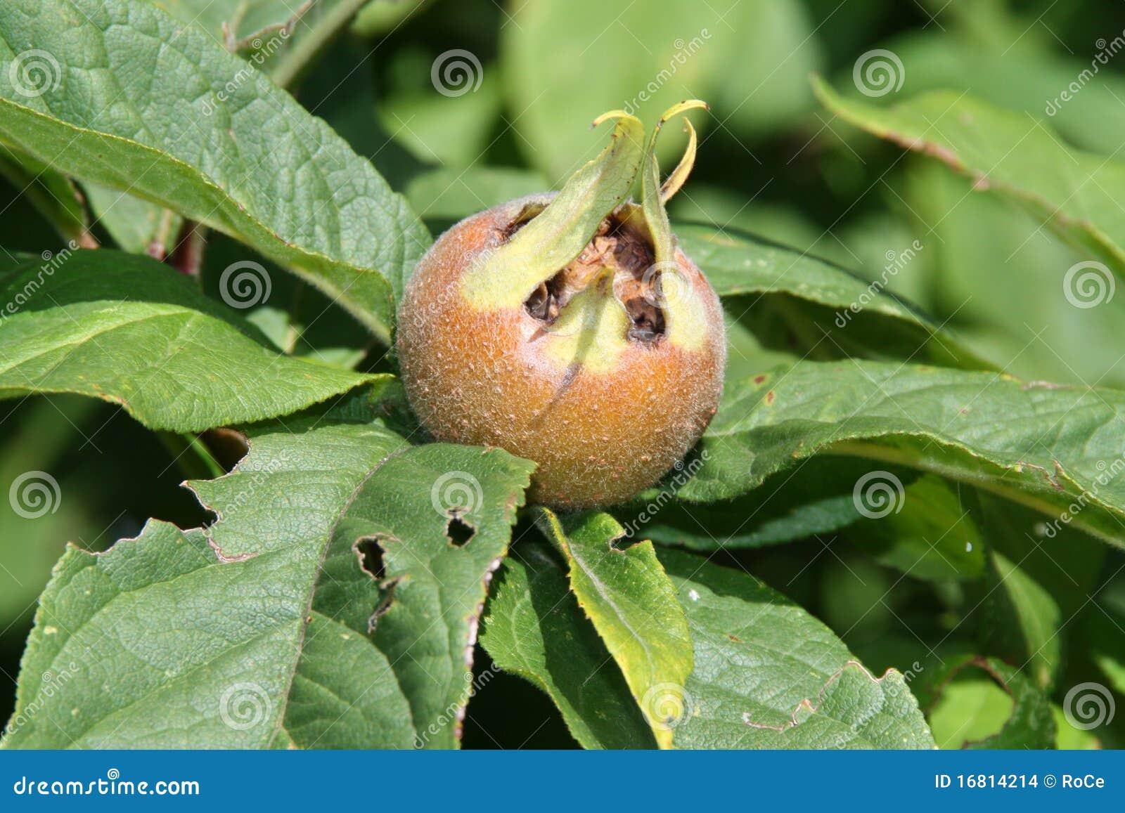 Nispero Fruta n Spero Fruta Rara Con Gusto