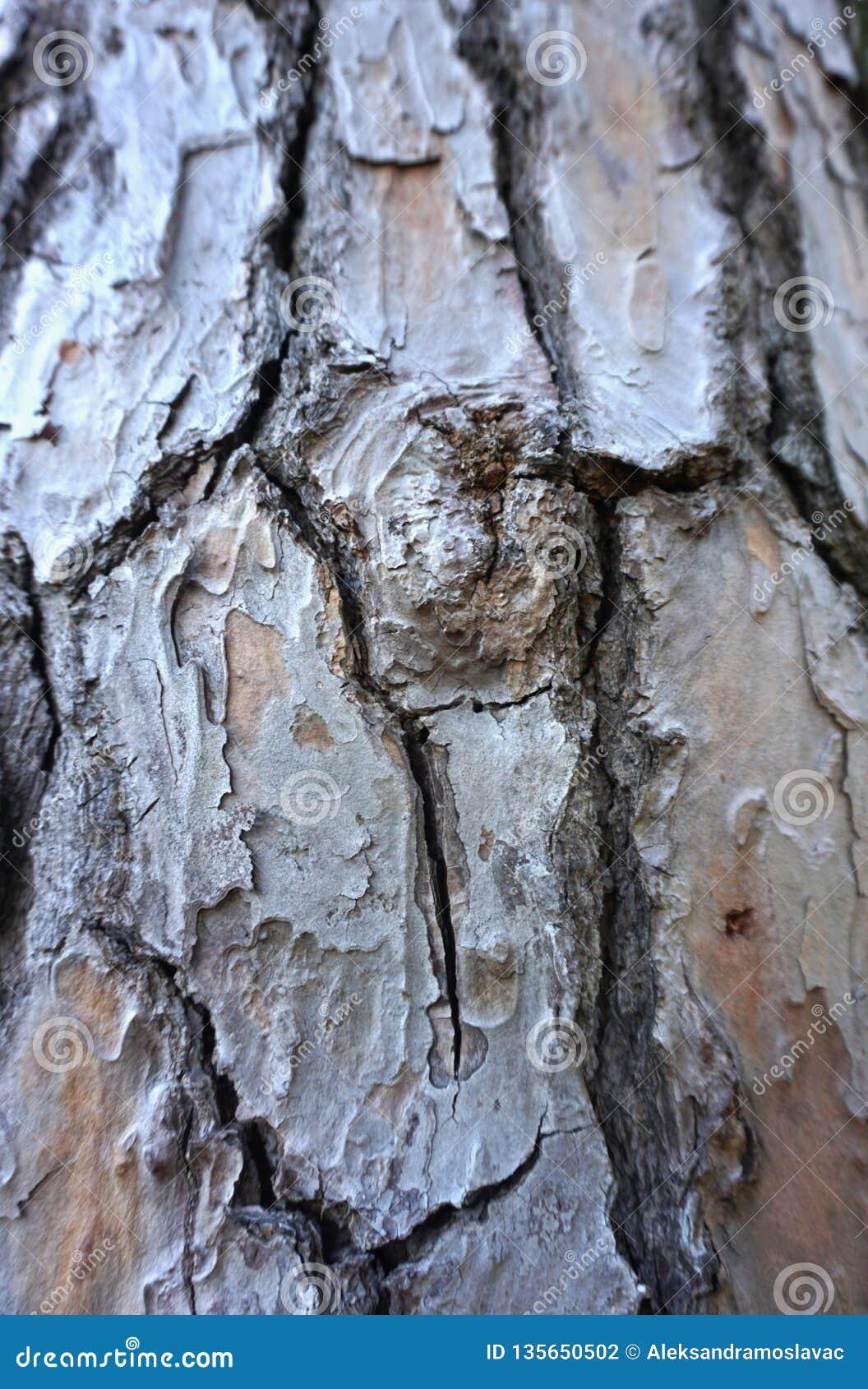 Nó na casca de árvore velha Fundo de madeira da estrutura da pele