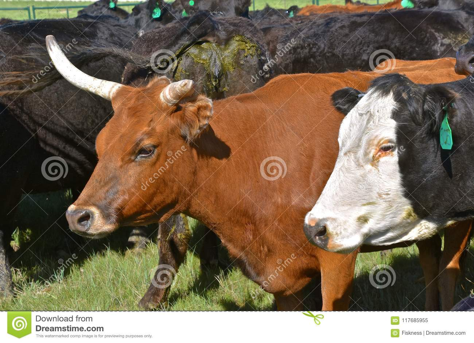 Nötköttko med ett brutet horn