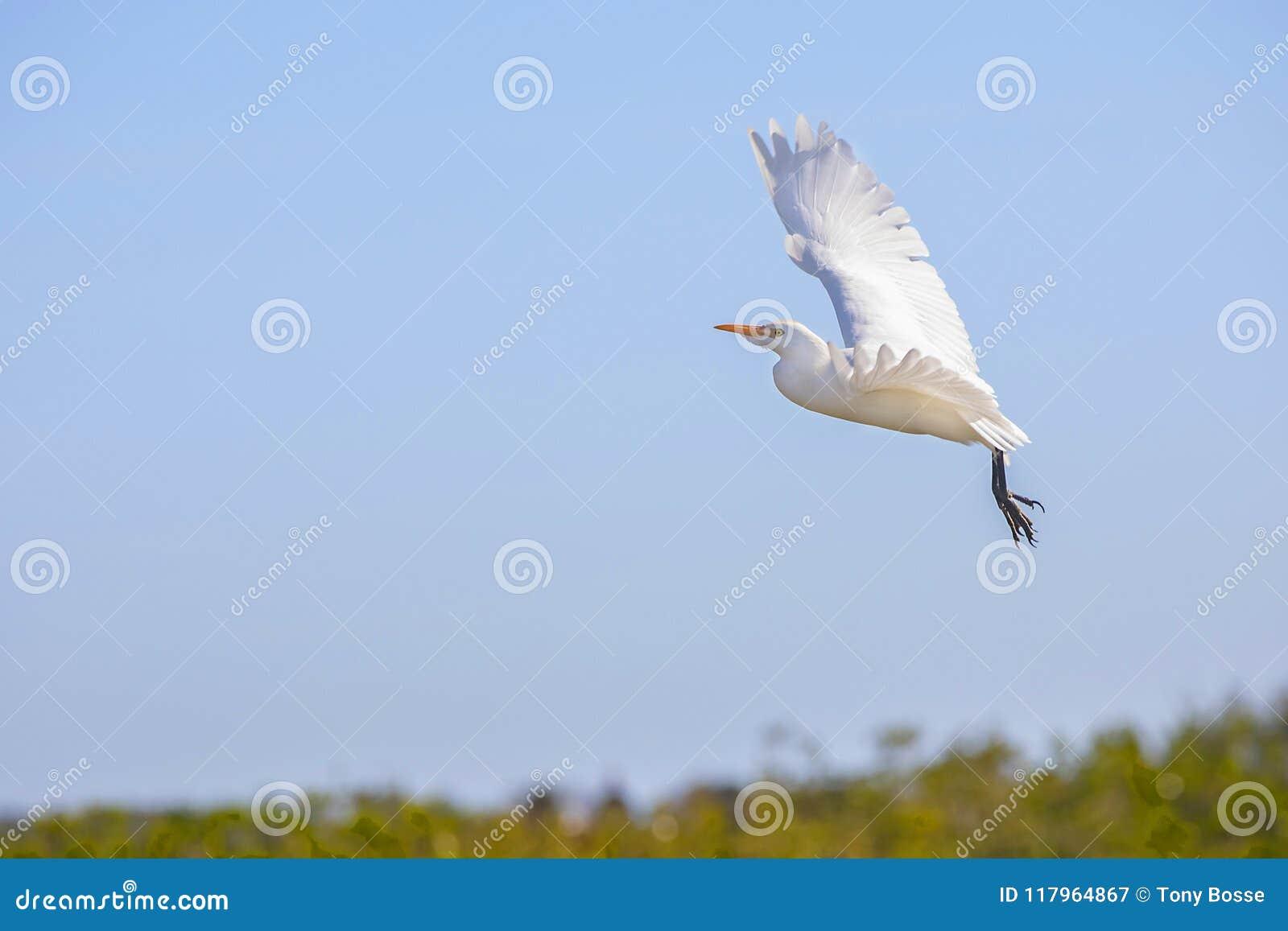 Nötkreaturägretthäger som tar flyg