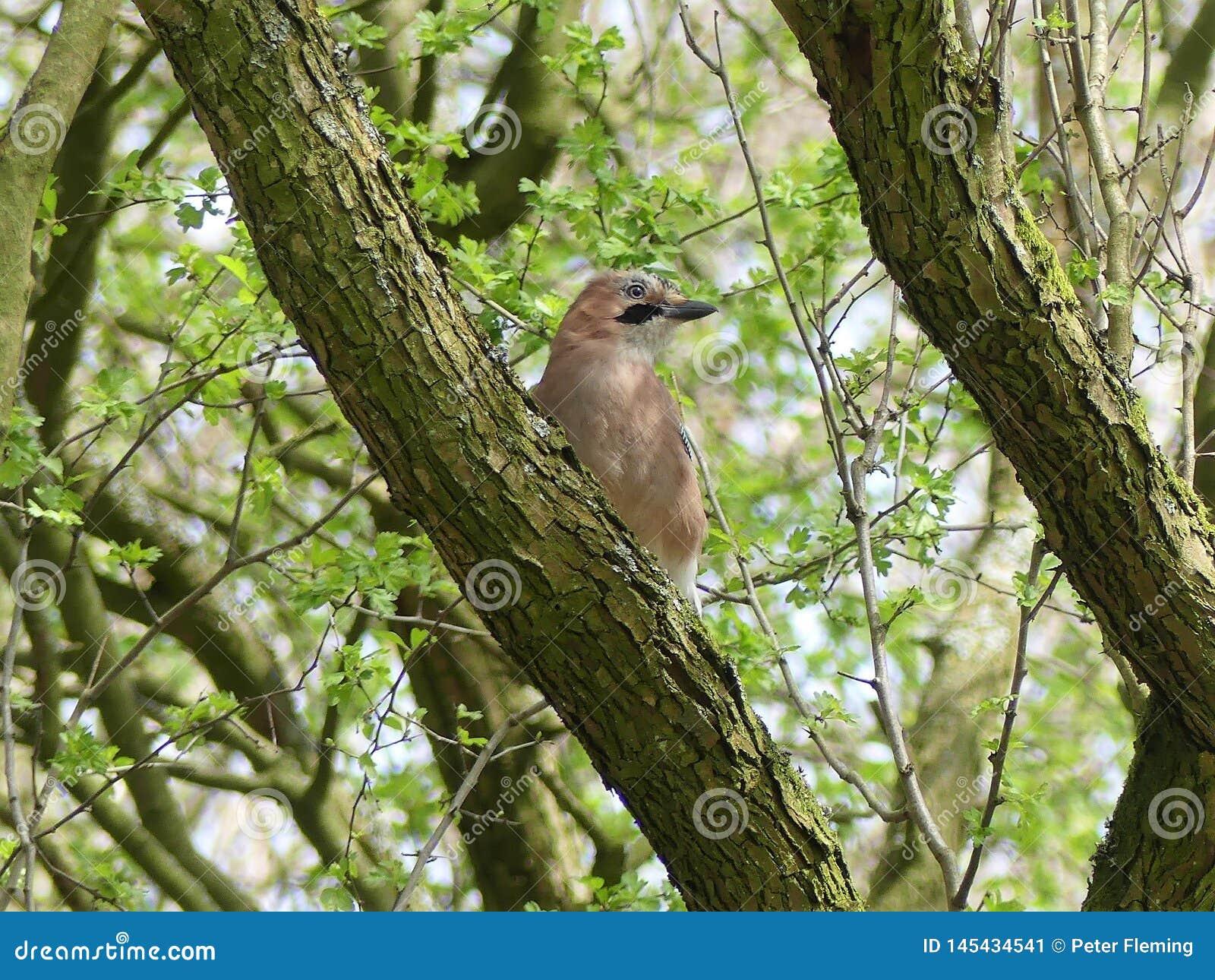 Nötskrikafågel på trädfilial