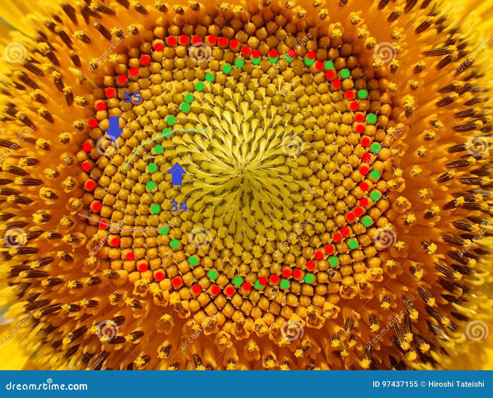 Números de Fibonacci de espirais da semente de girassol