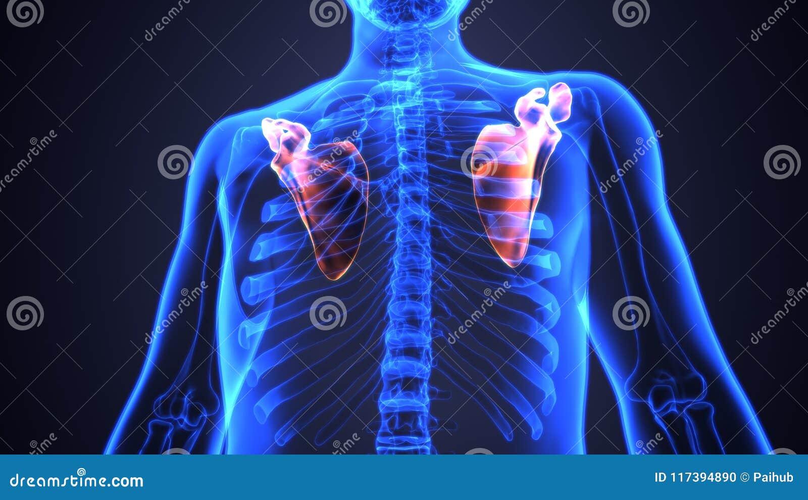 3d Illustration Of Human Body Bone Joint Pains Anatomy Scapula Stock