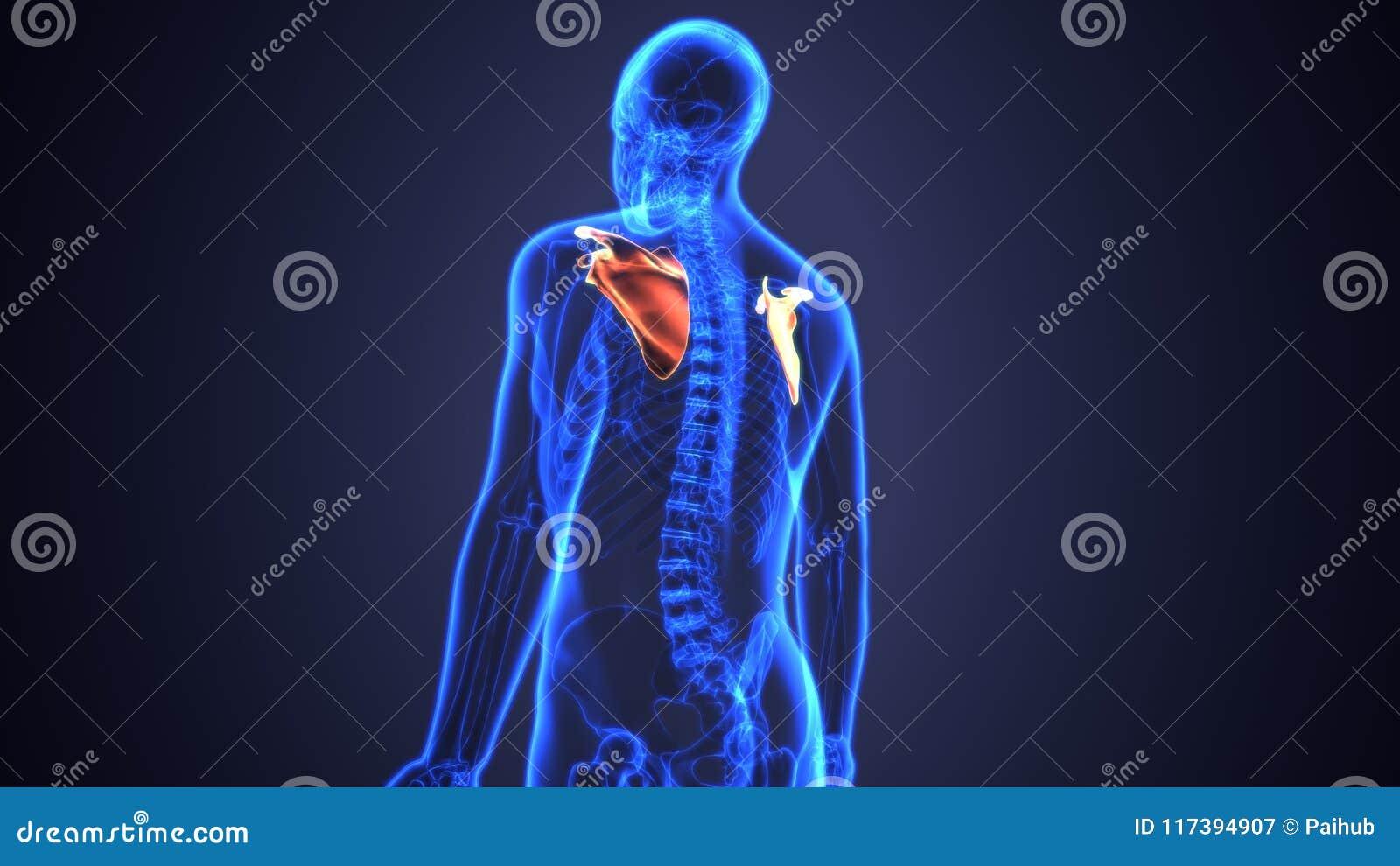 3D Illustration Of Human Body Bone Joint Pains Anatomy Scapula Stock ...