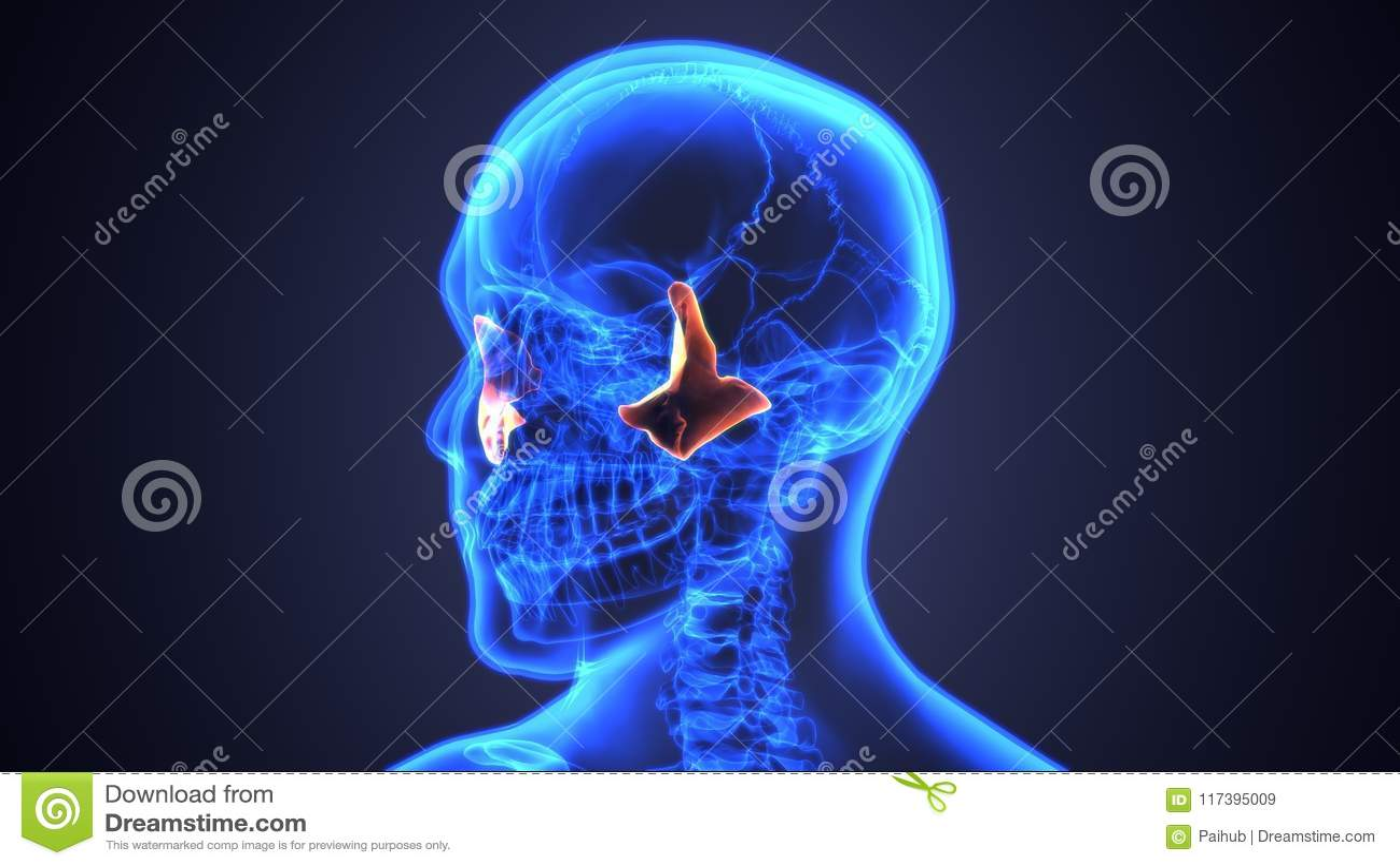 3d Illustration Of Male Zygomatic Bone Skull Anatomy - Blue Concept ...