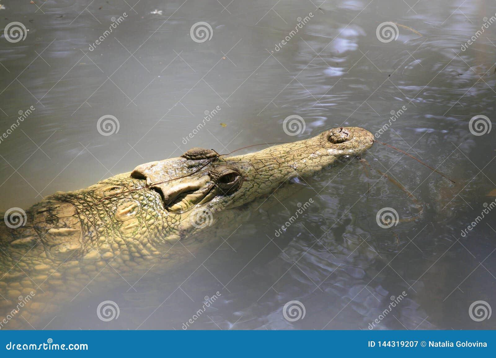 N?ra st?ende av Nilenkrokodilen, Crocodylusniloticusen, munnen och t?nder
