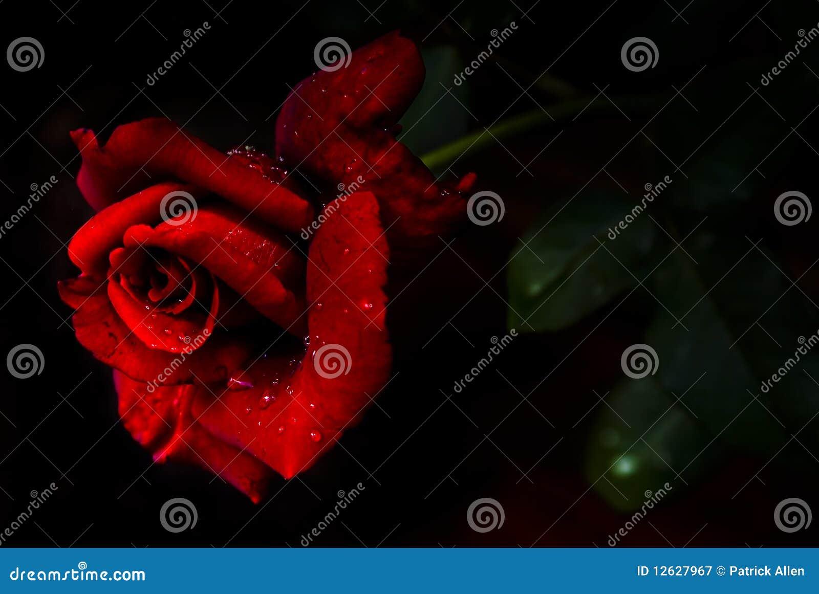 N rosso Rosa fragrante - tè ibrido