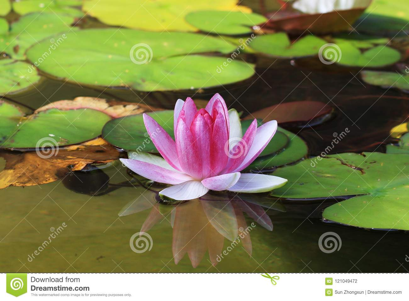 Water lilynymphaea l stock photo image of pure year 121049472 n rubra native to india and bangladesh water lily is the birth flower on august 5 every year flower language clean pure and glamorous izmirmasajfo
