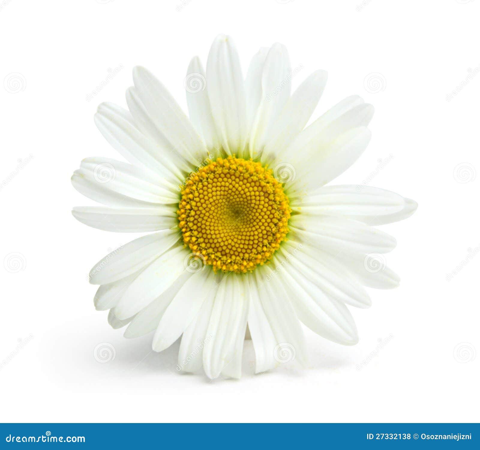 Na biały tle Chamomile kwiat