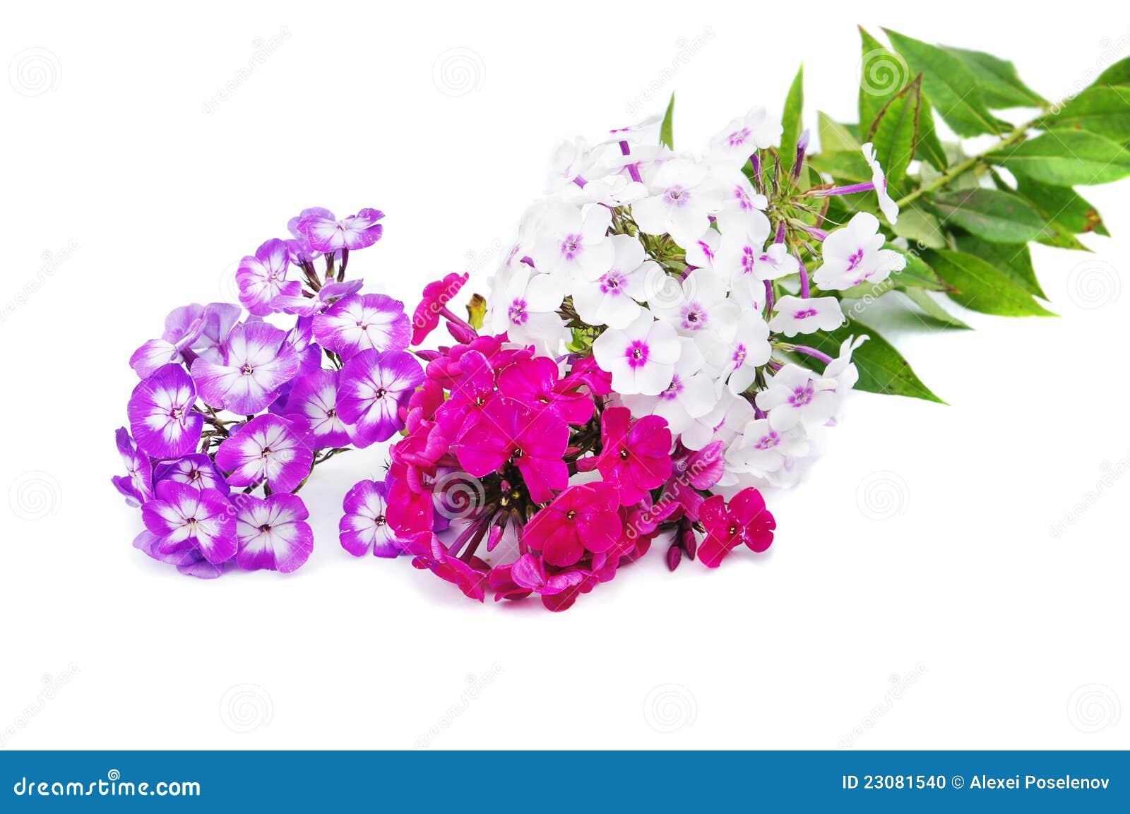 Na biały tle floksów kwiaty