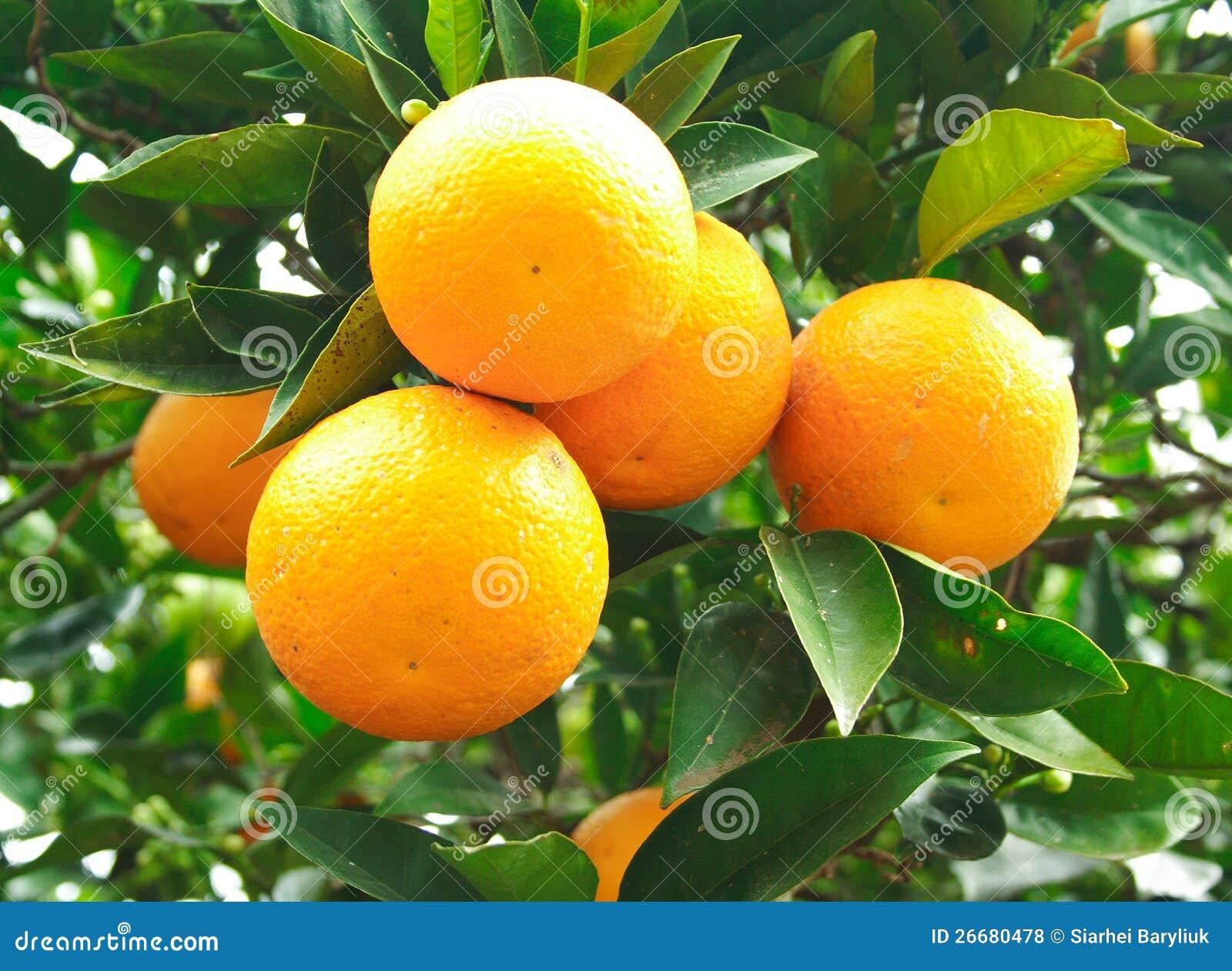Na drzewie pomarańcze owoc